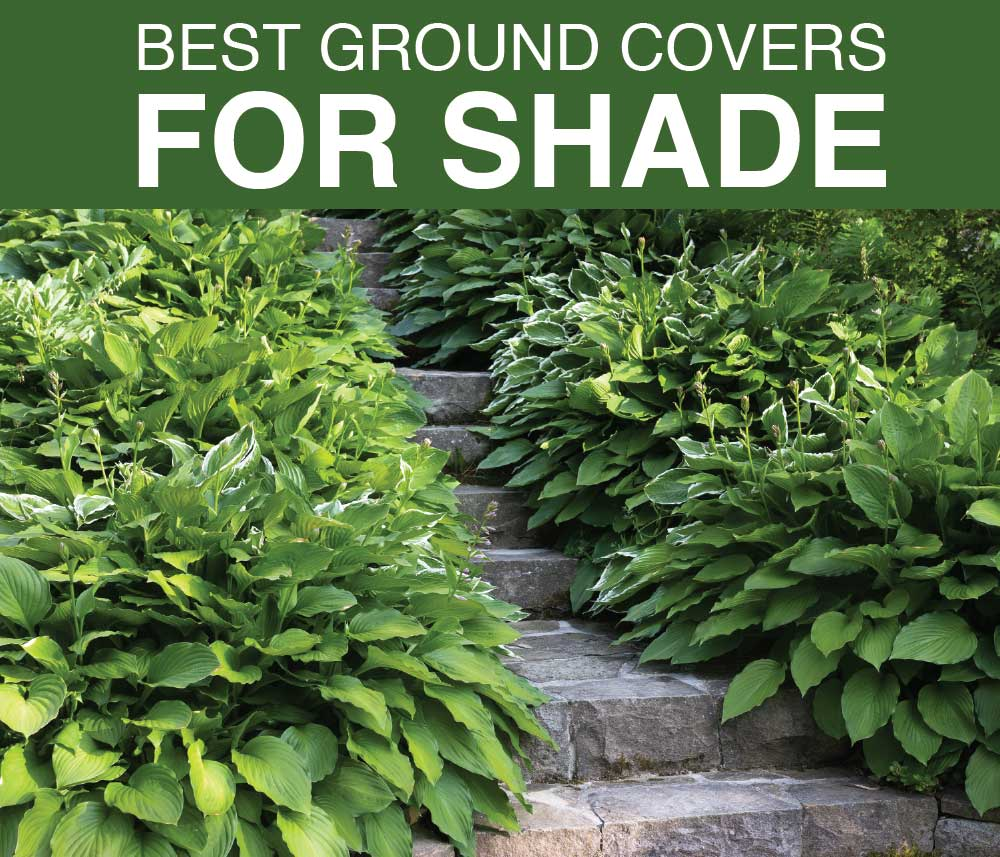 best ground covers for shady gardens