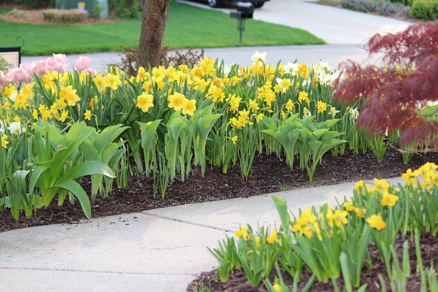 The Perfect Pair Daffodils and Hostas 2_Longfield Gardens