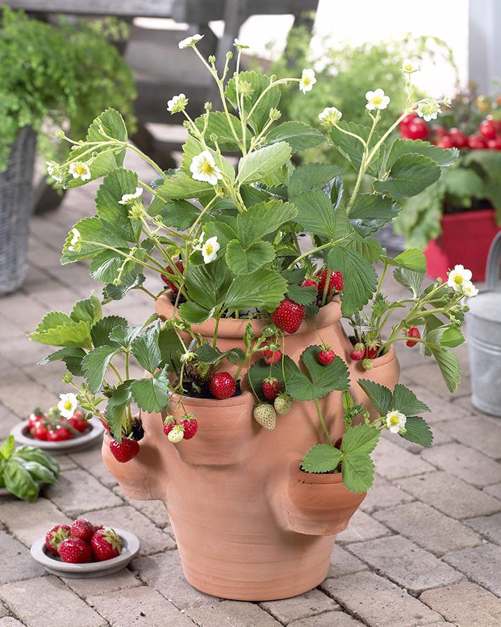 Как вырастить клубнику на балконе..