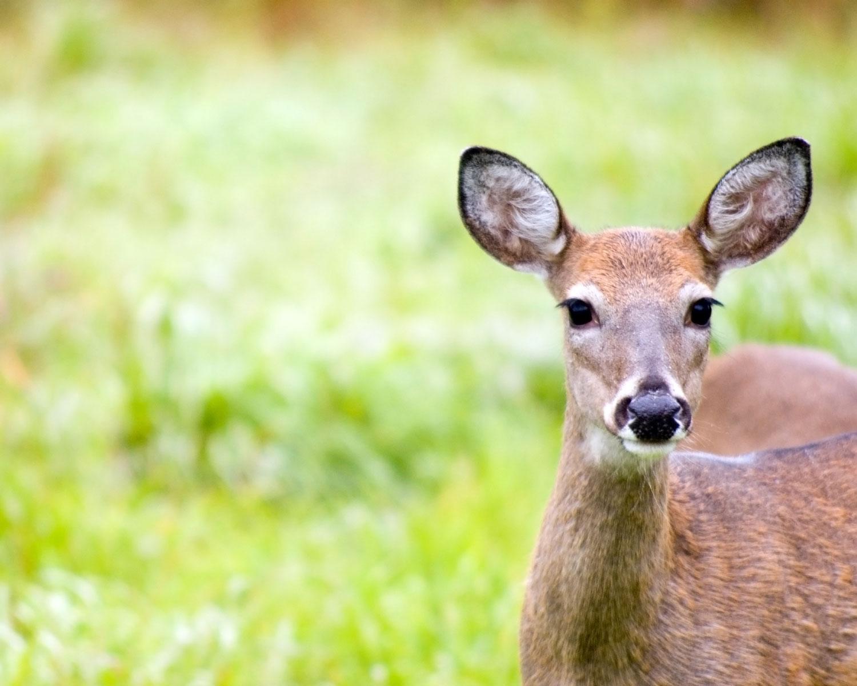 Natural Deer Repellent Home Remedies