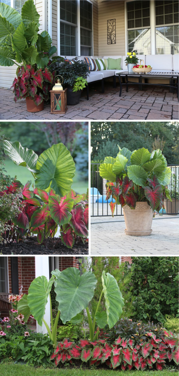 Color Feature Elephant Ear And Caladium Longfield Gardens