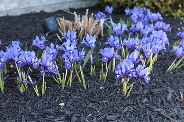 spectacular spring bloom iris reticulata 39 harmony. Black Bedroom Furniture Sets. Home Design Ideas