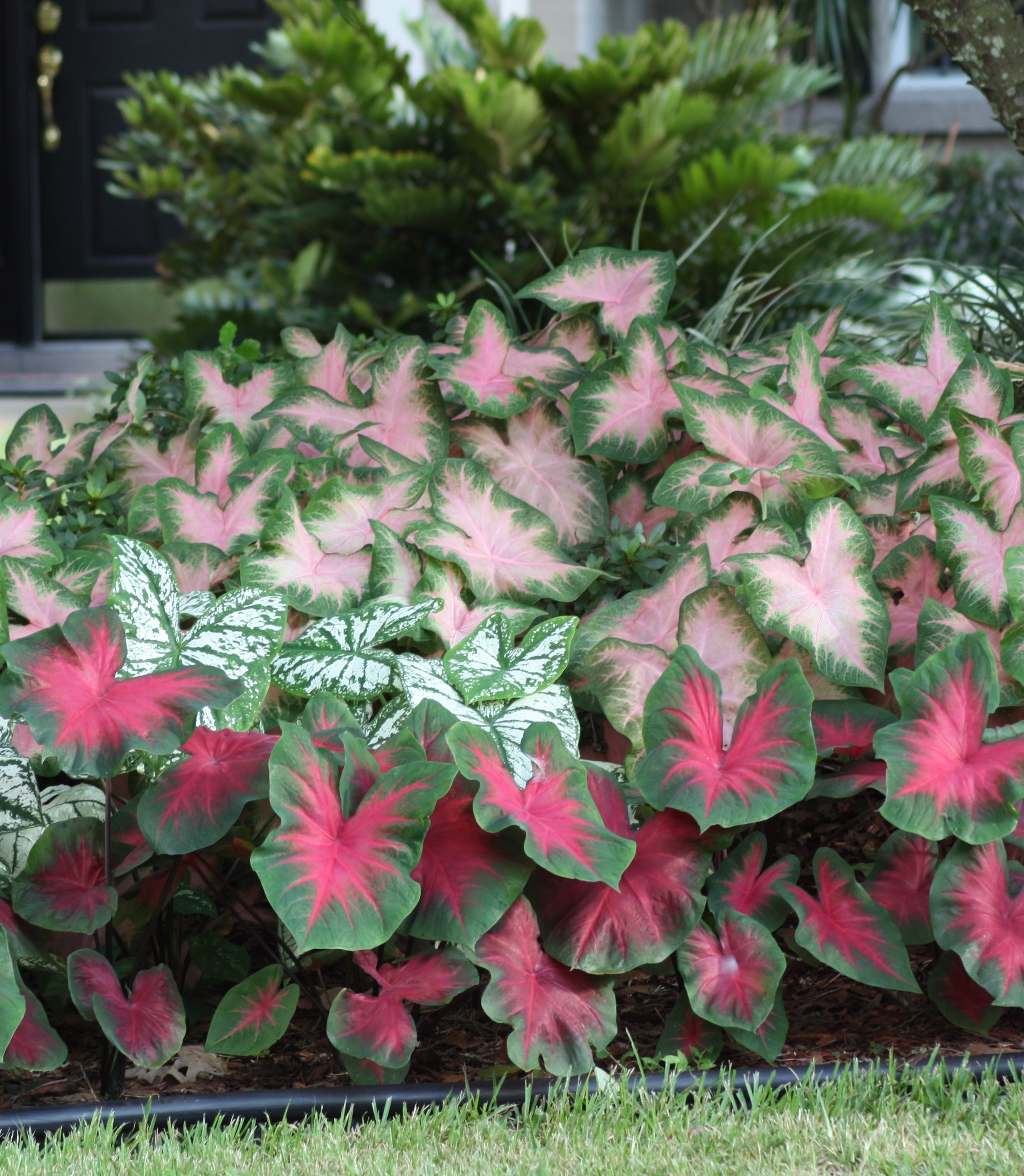 tips for growing caladiums in zones   longfield gardens, Natural flower