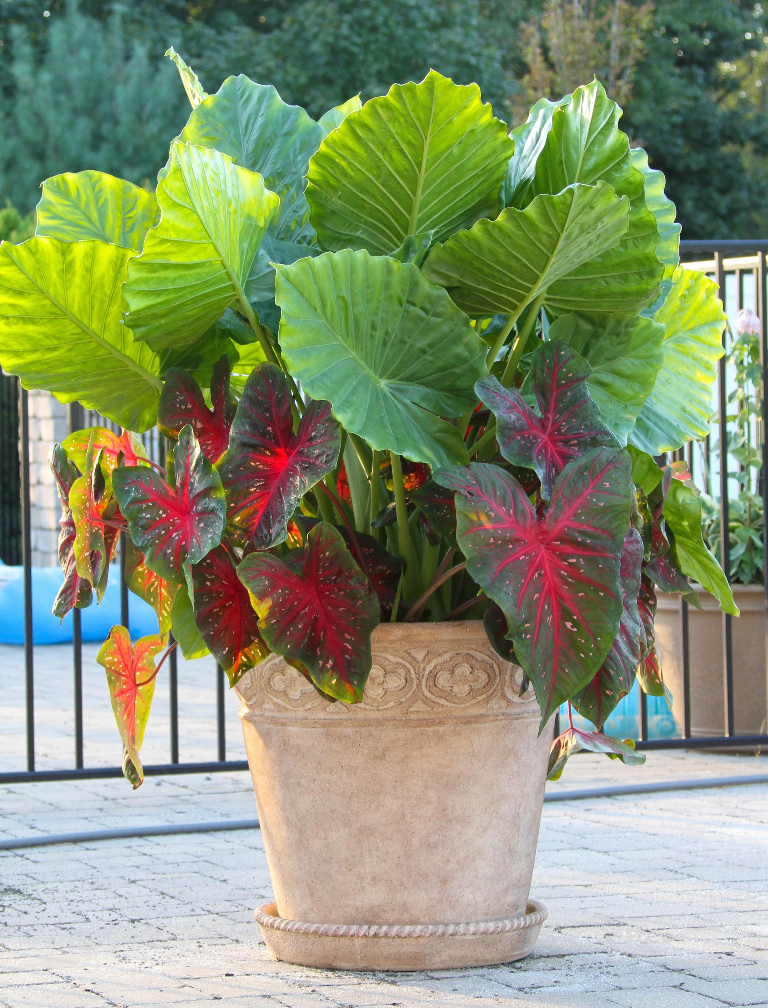 Elephant Ears: Late Summer Fireworks for Pots and Planters ...