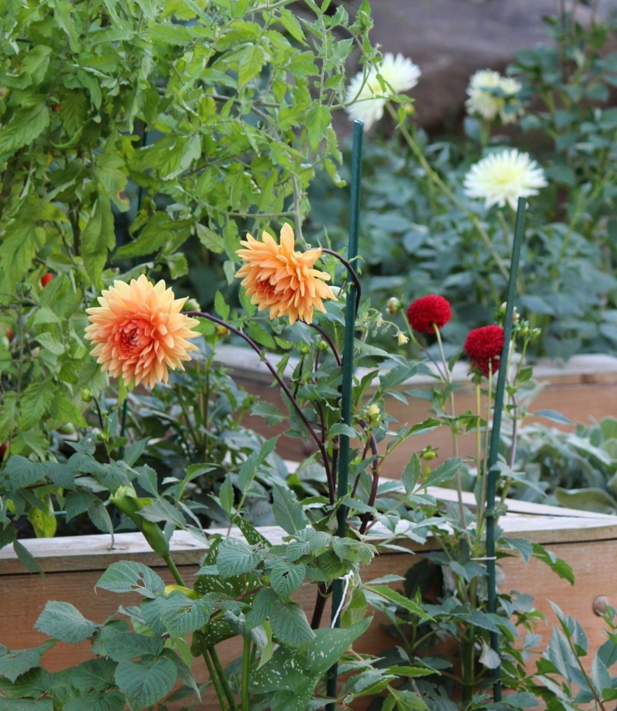 thumb_Tomatoes.Raspberries.Dahlias_1_1024