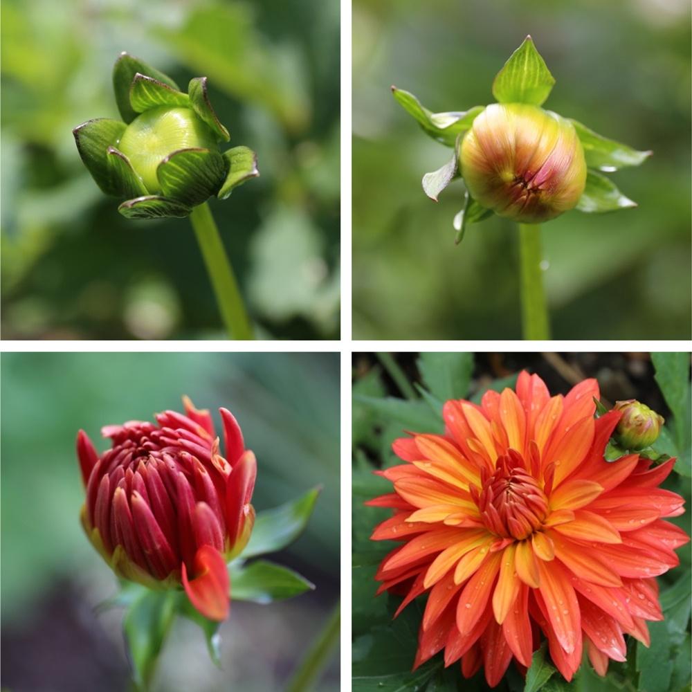 Border Dahlia-Bloom-Progression