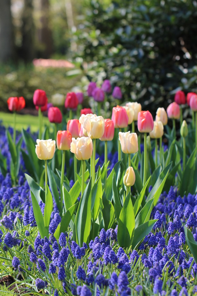 pastel colored tulips