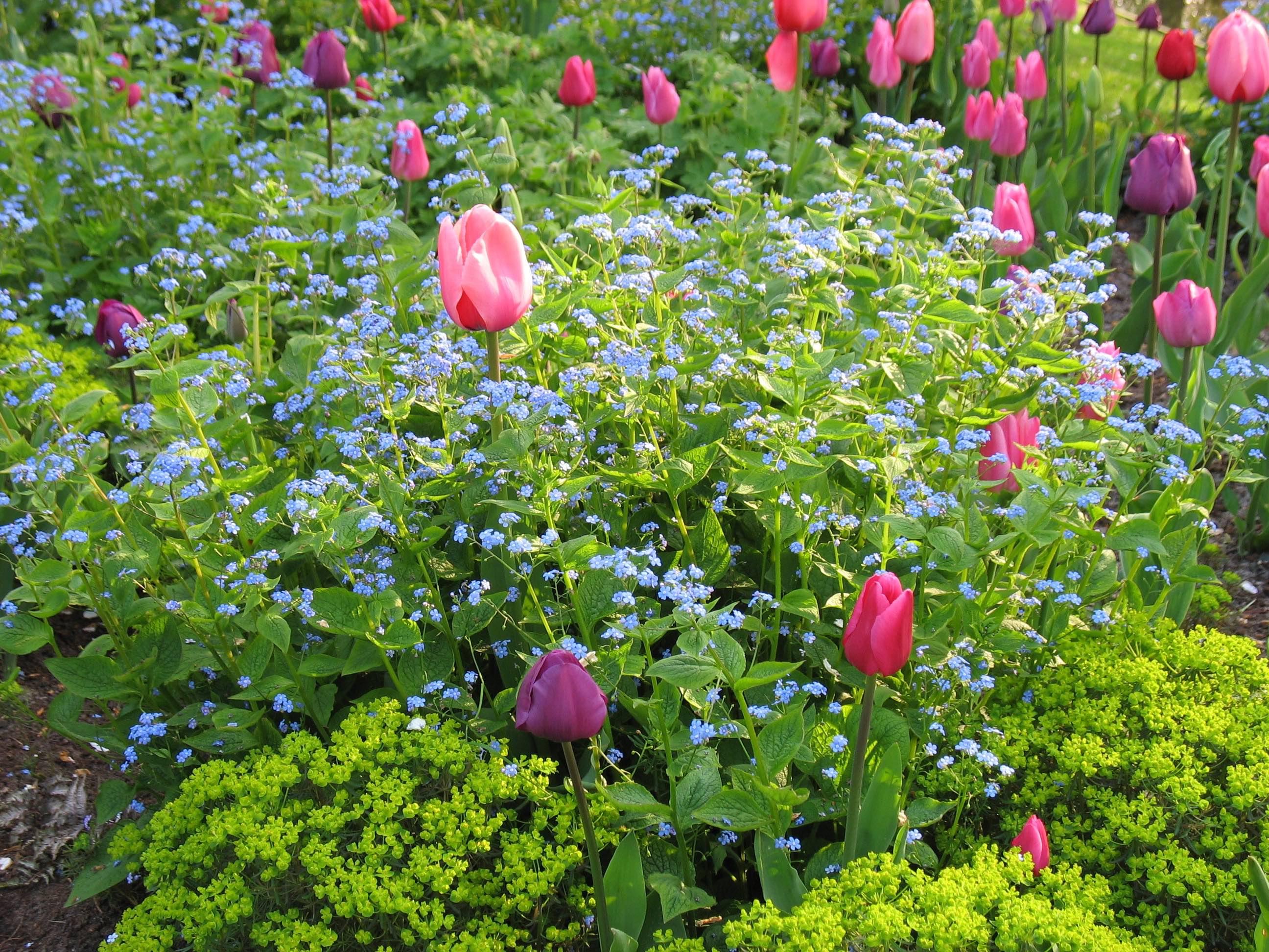 Holland Keukenhof tulips forget-me-nots