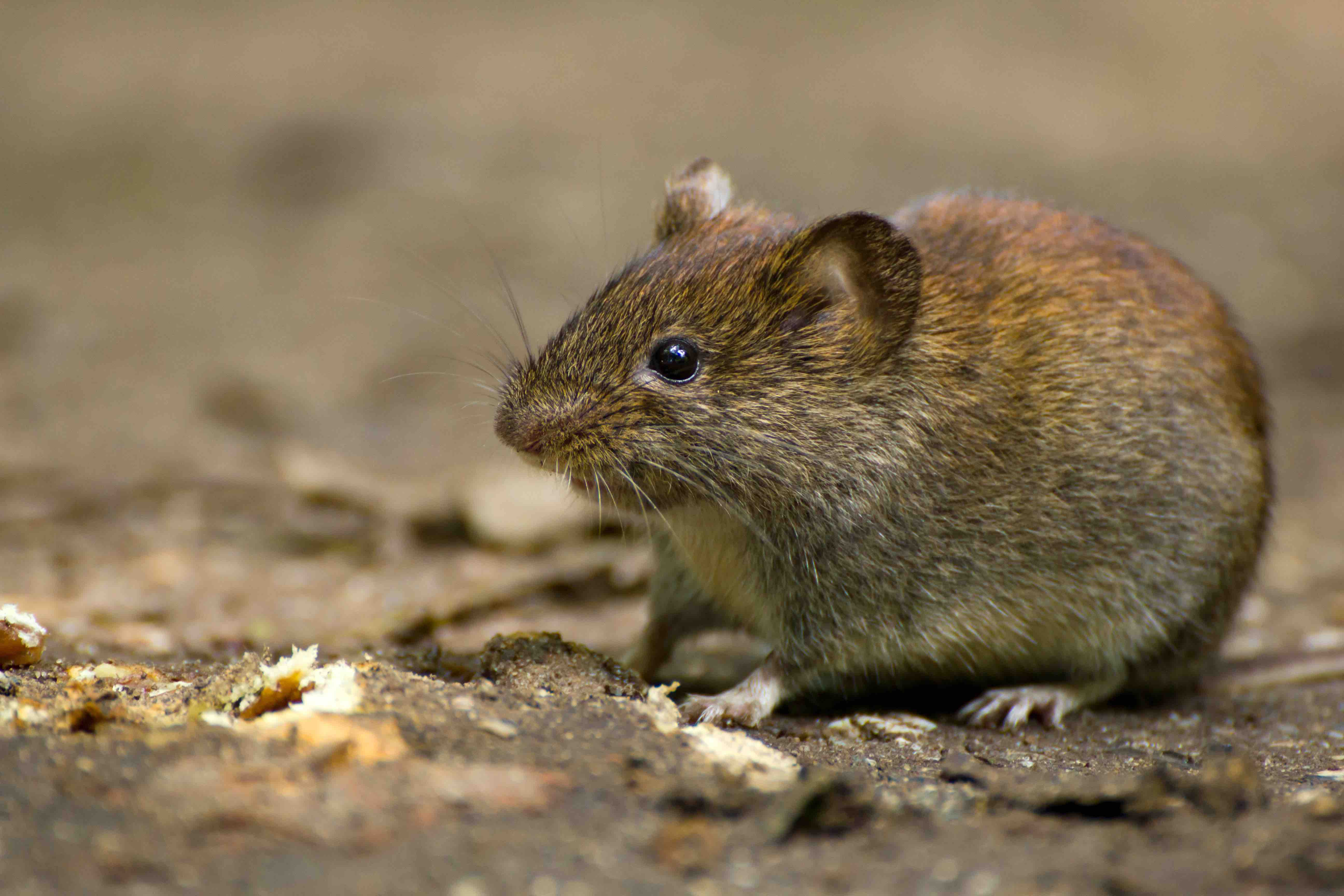common meadow vole