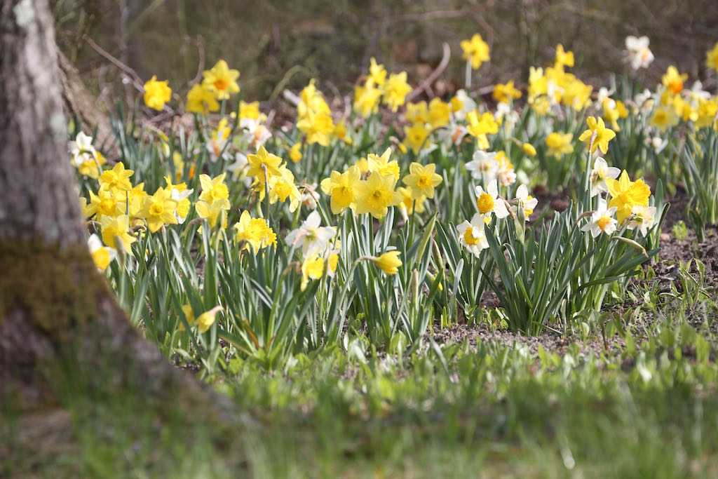 Naturalized daffodils