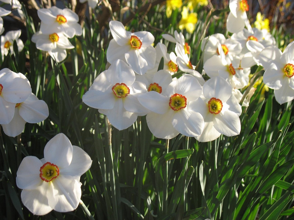 Naturalized Poeticus Daffodils