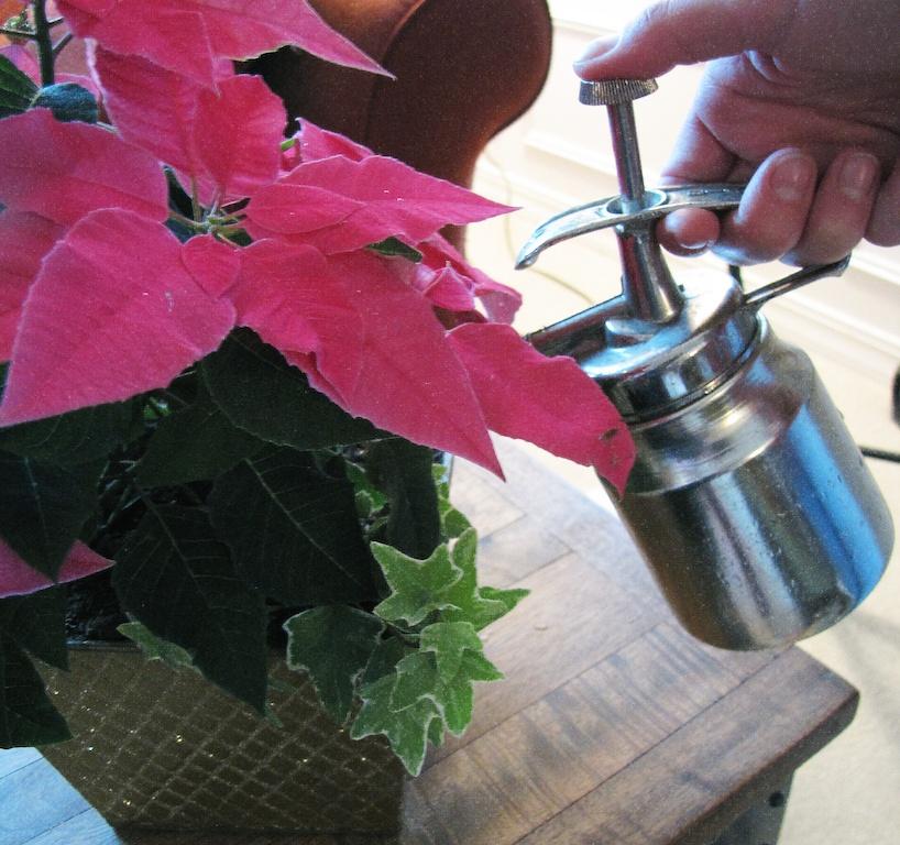 watering amaryllis garden