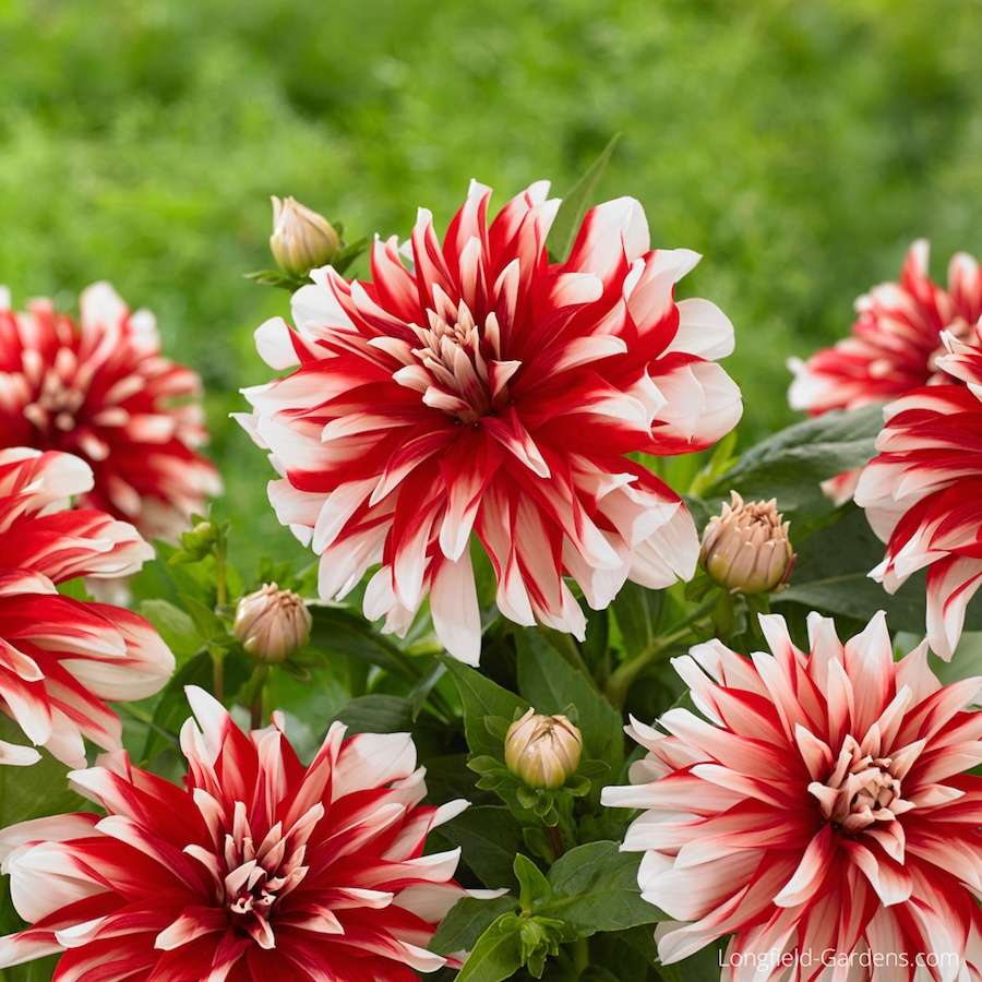 04-Dahlia-Catching-Fire.jpg