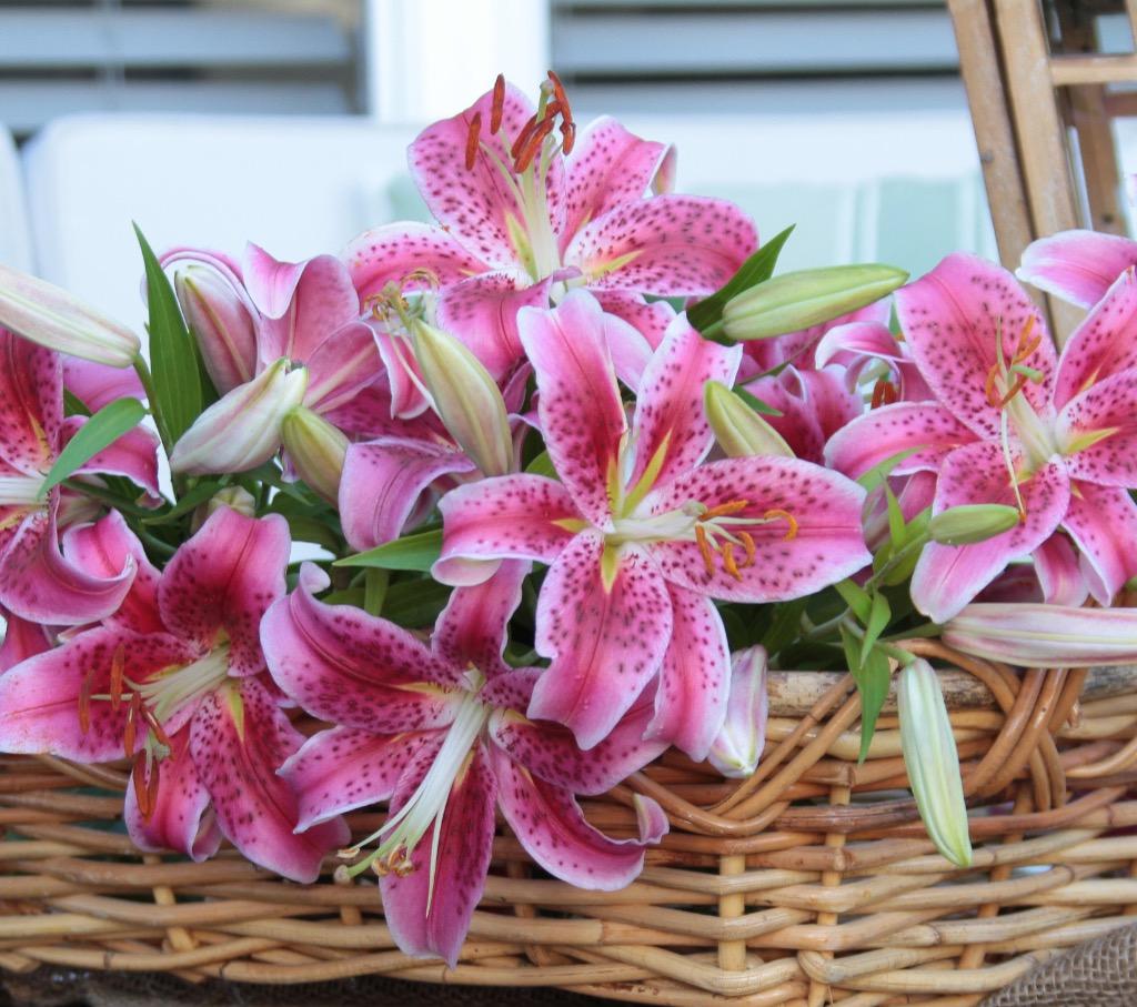 Pink Oriental Lilies in a Basket