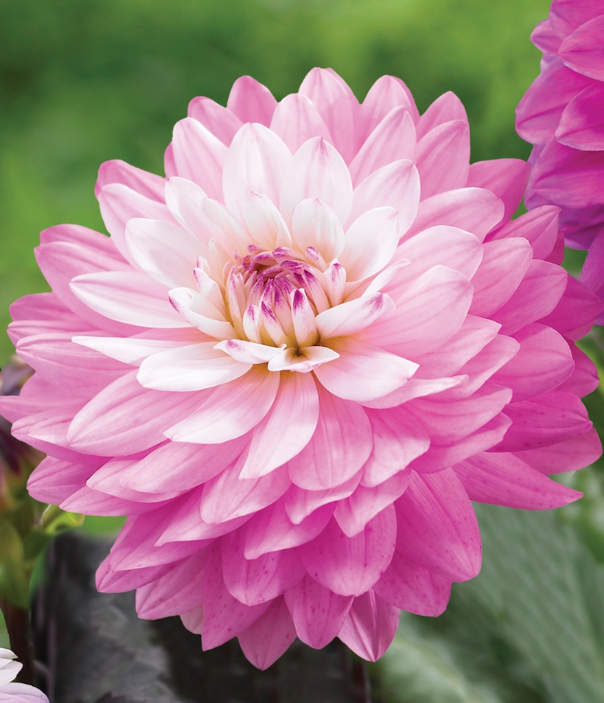 LongfieldGardens_Dahlia_MiraclePrincess-Pink.jpg