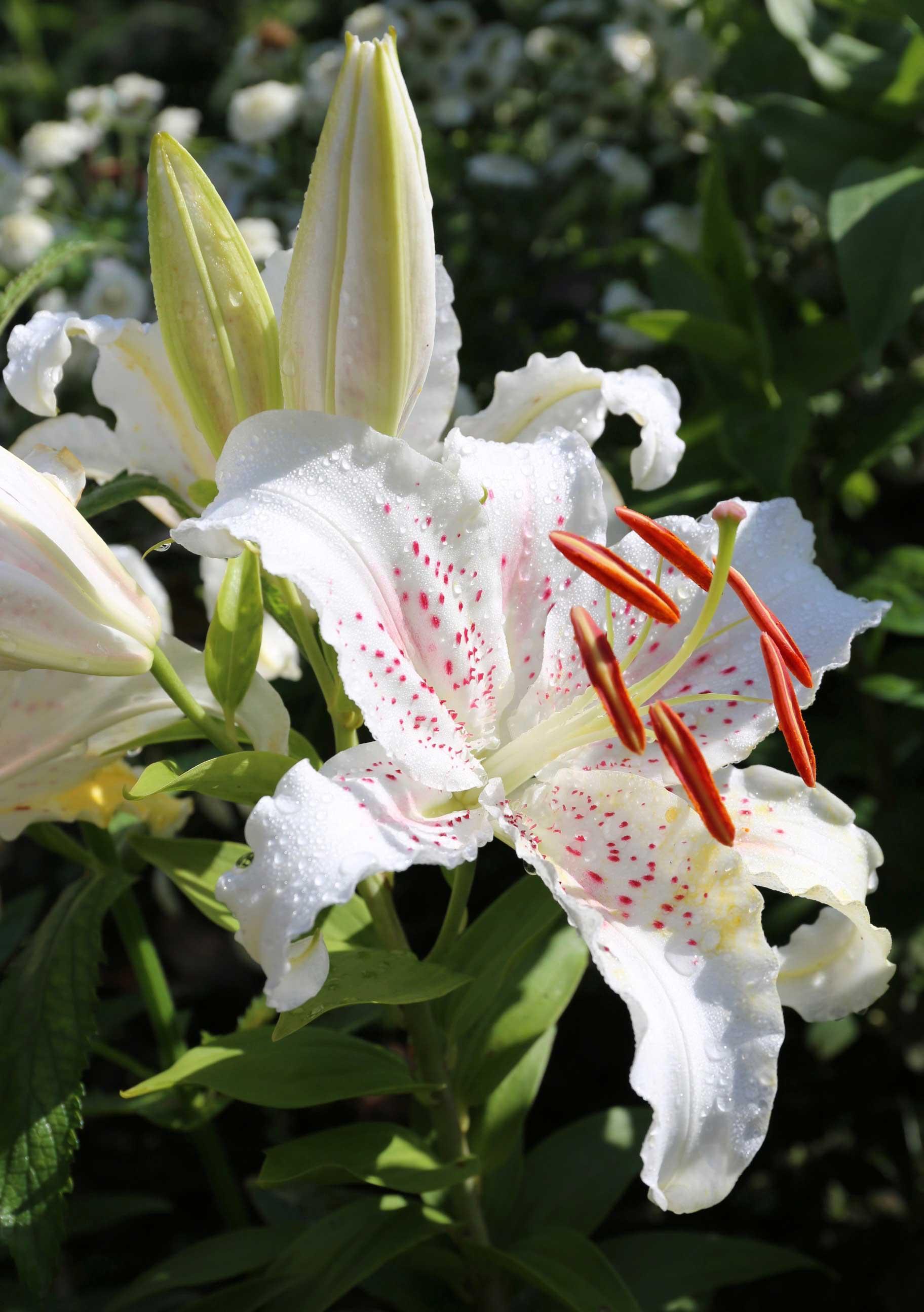 Oriental-Lily-Muscadet.jpg