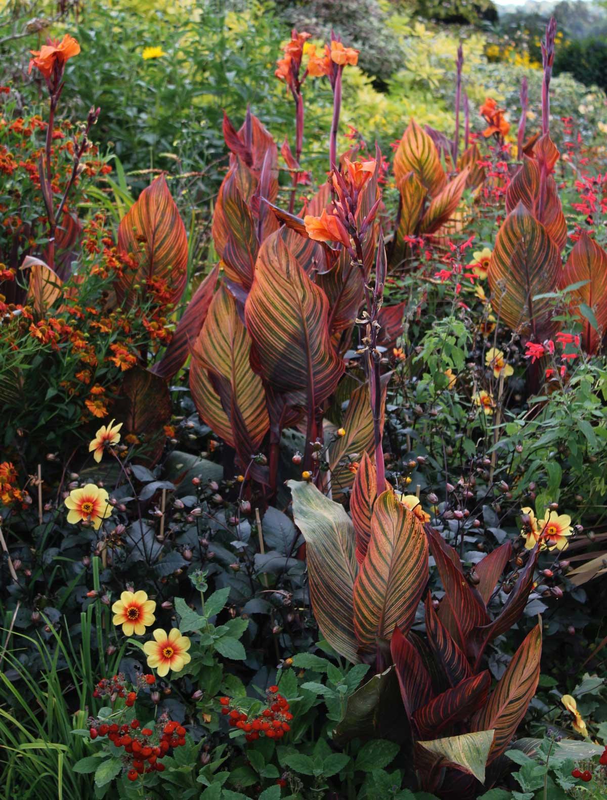 tropicanna-in-perennial-garden-1.jpg