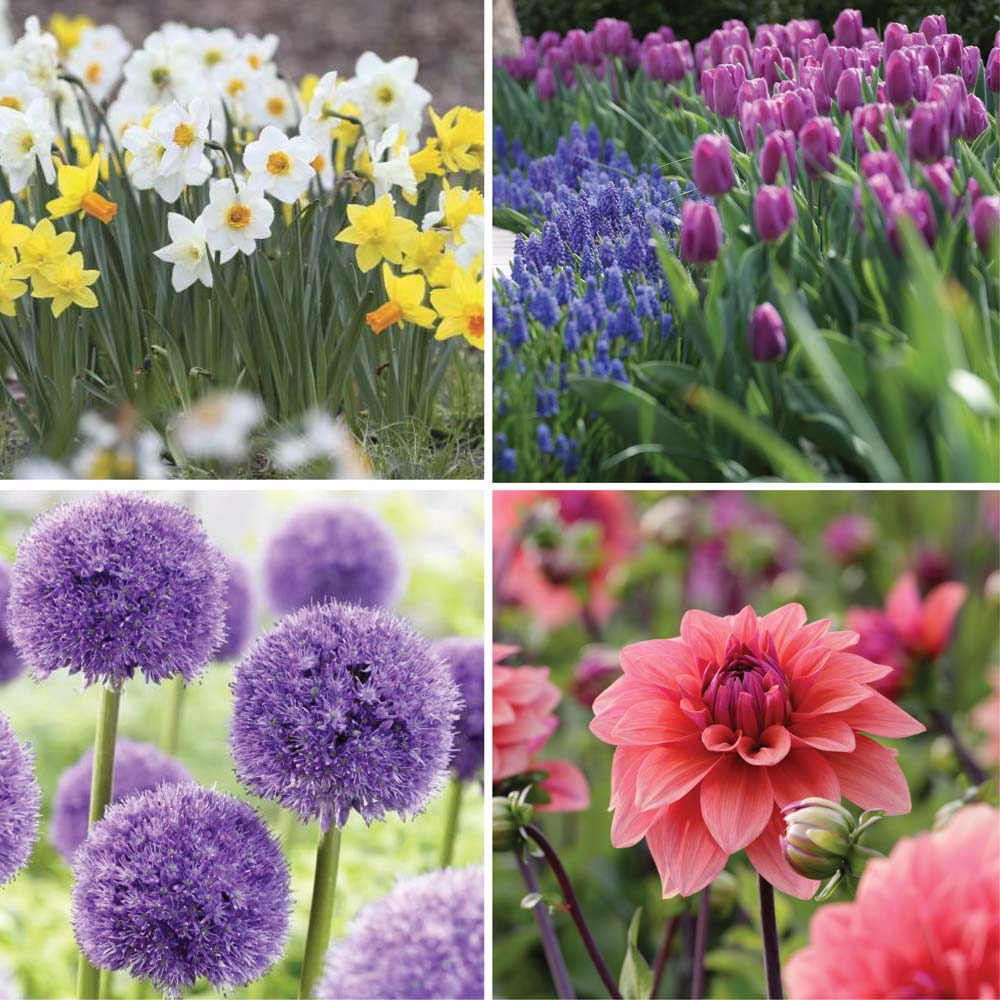 Bloom Time Chart For Spring And Summer Bulbs Longfield