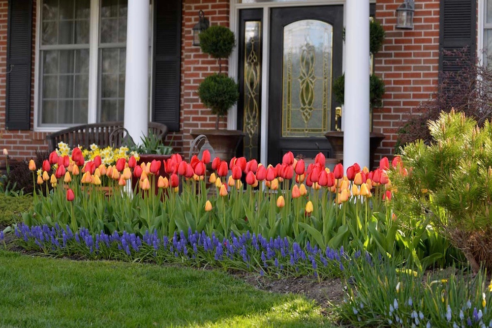 tulips-in-display-bed_1.jpg