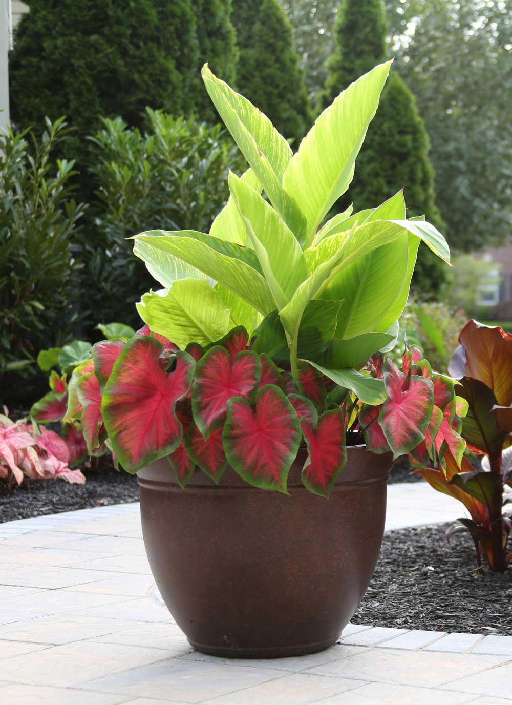 Canna and caladiums.jpg