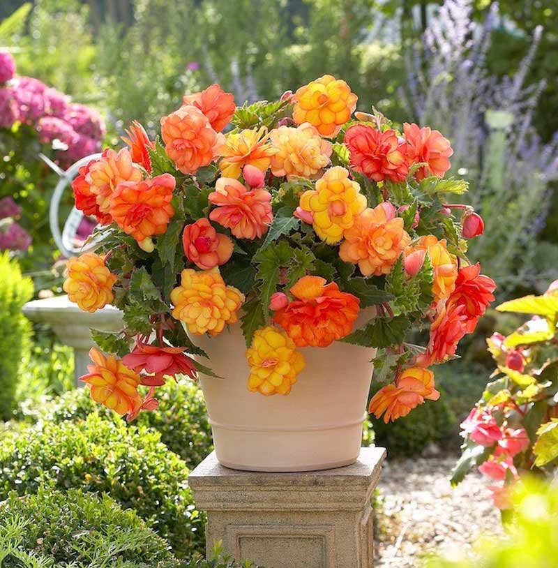 Golden Balcony Begonia.jpg