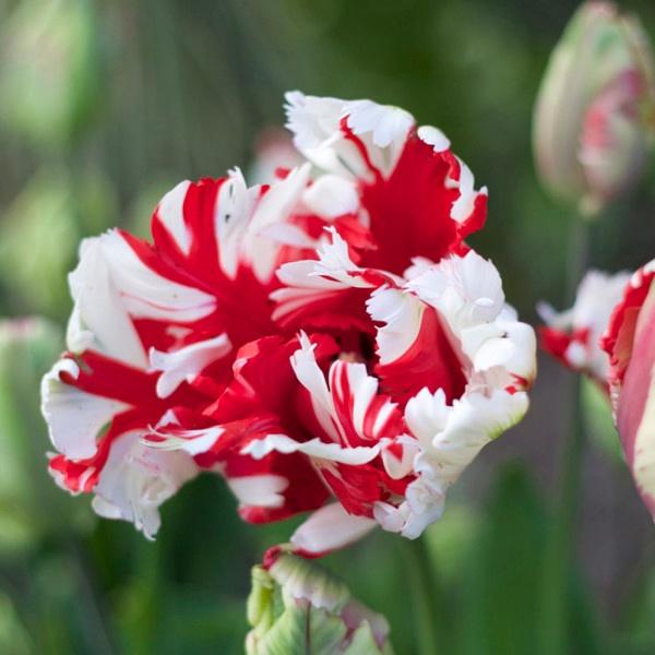 Tulip-Estella-Rijnveld.jpg