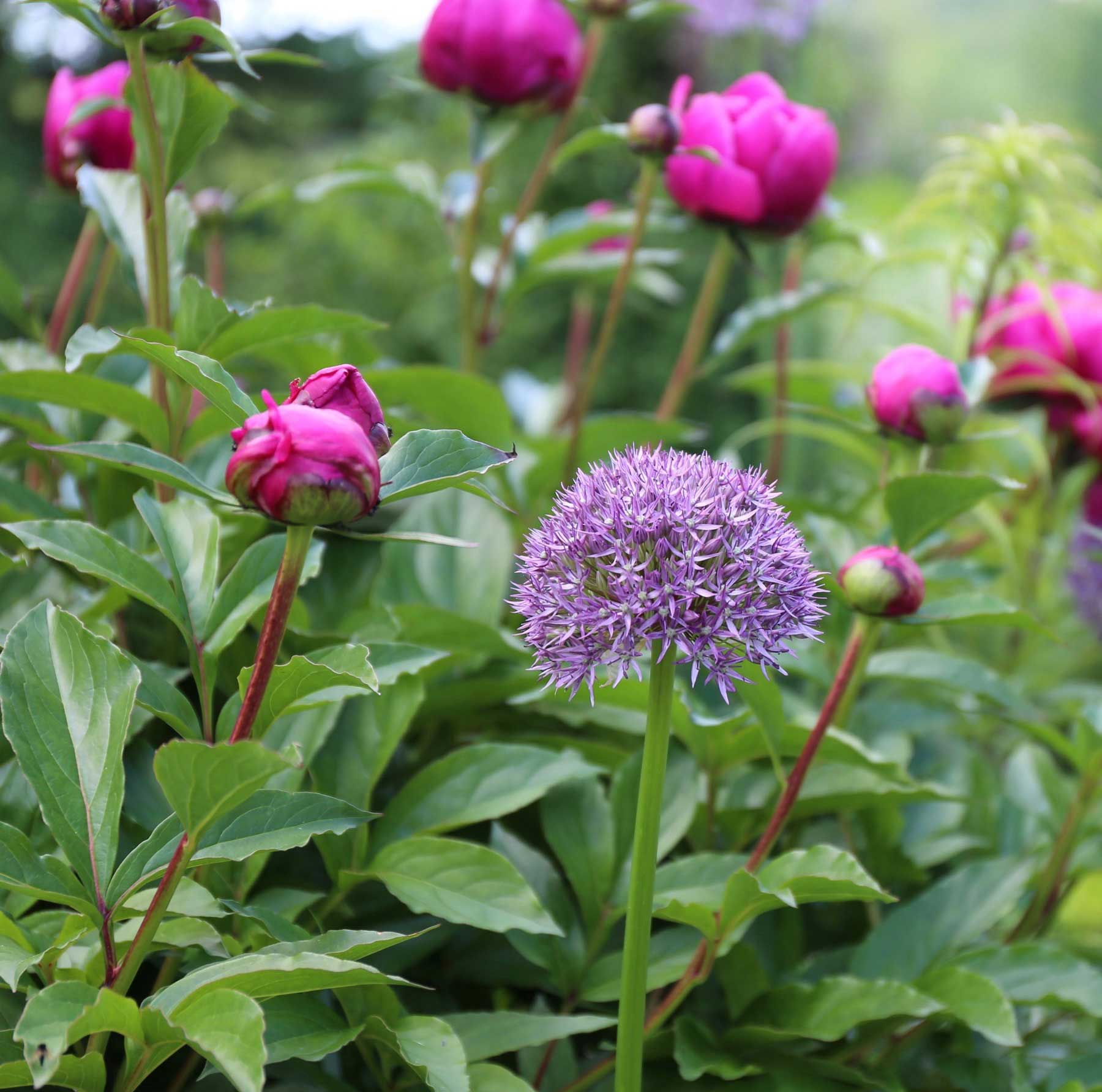 allium-and-peony.jpg
