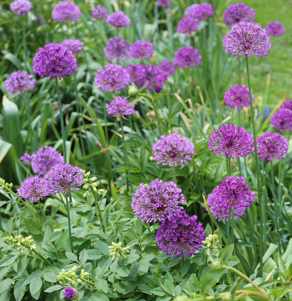 allium-purple-sensation.jpg