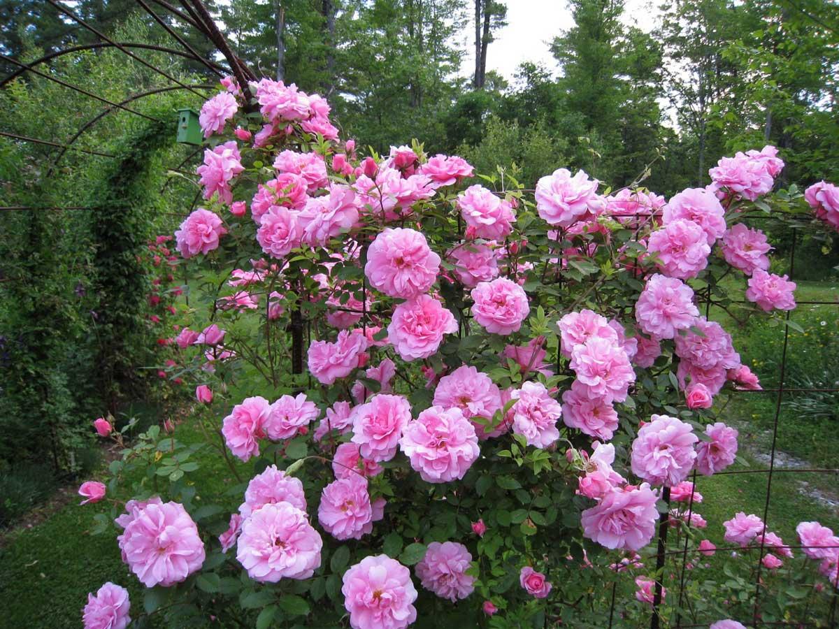 john-davis-climbing-rose.jpg