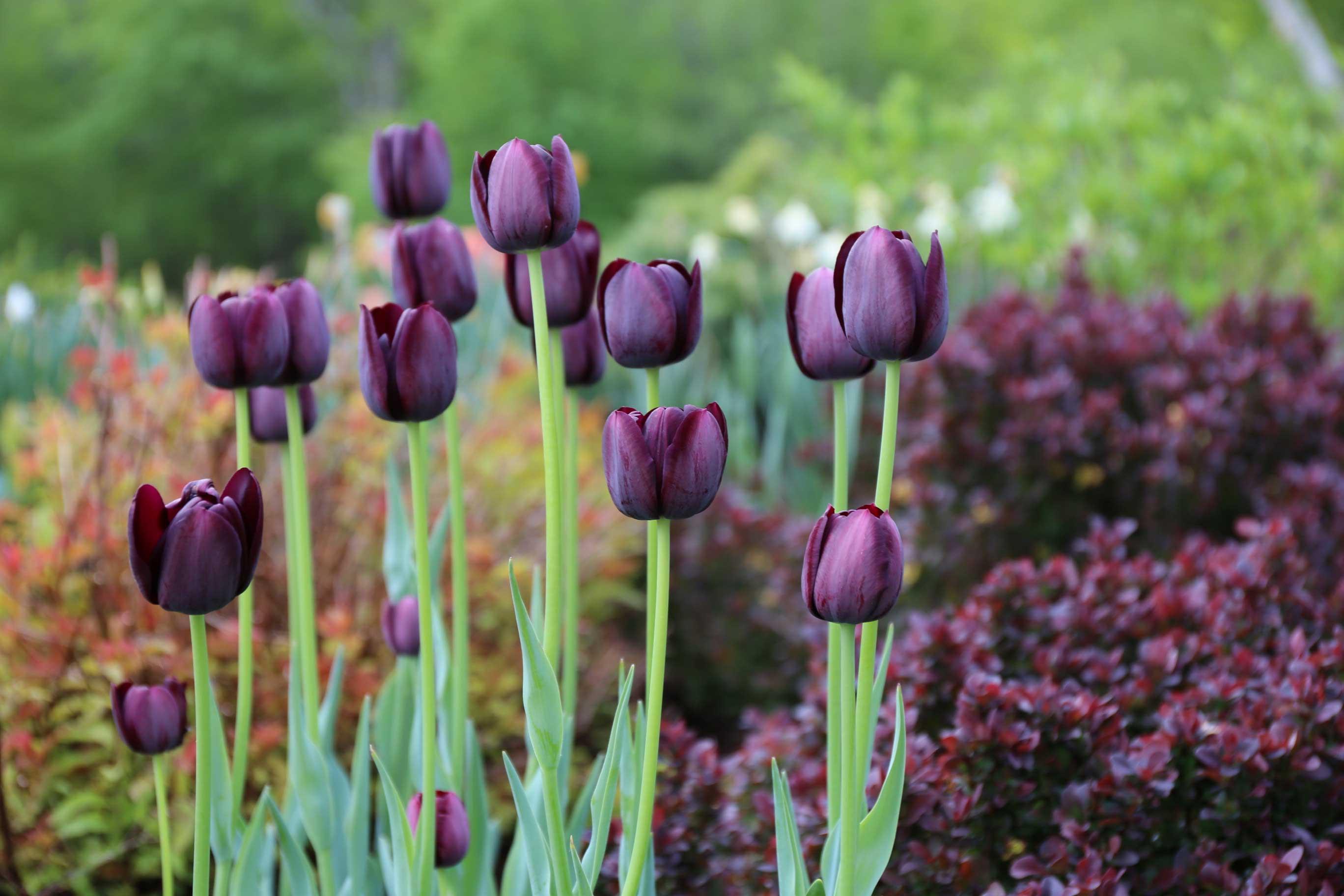 queen-of-night-tulip.jpg