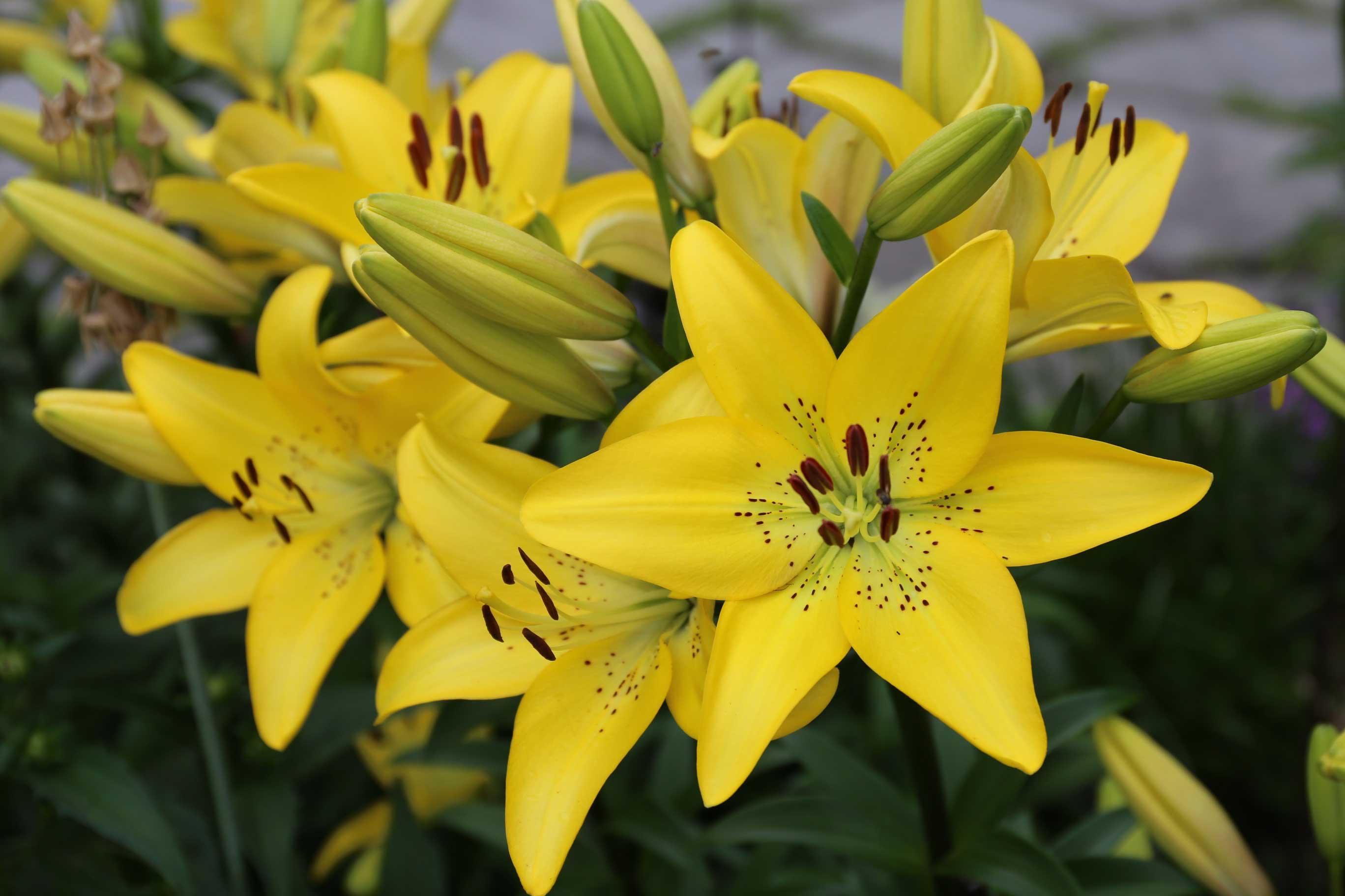 Yellow-Diamond-LA-Lily.jpg