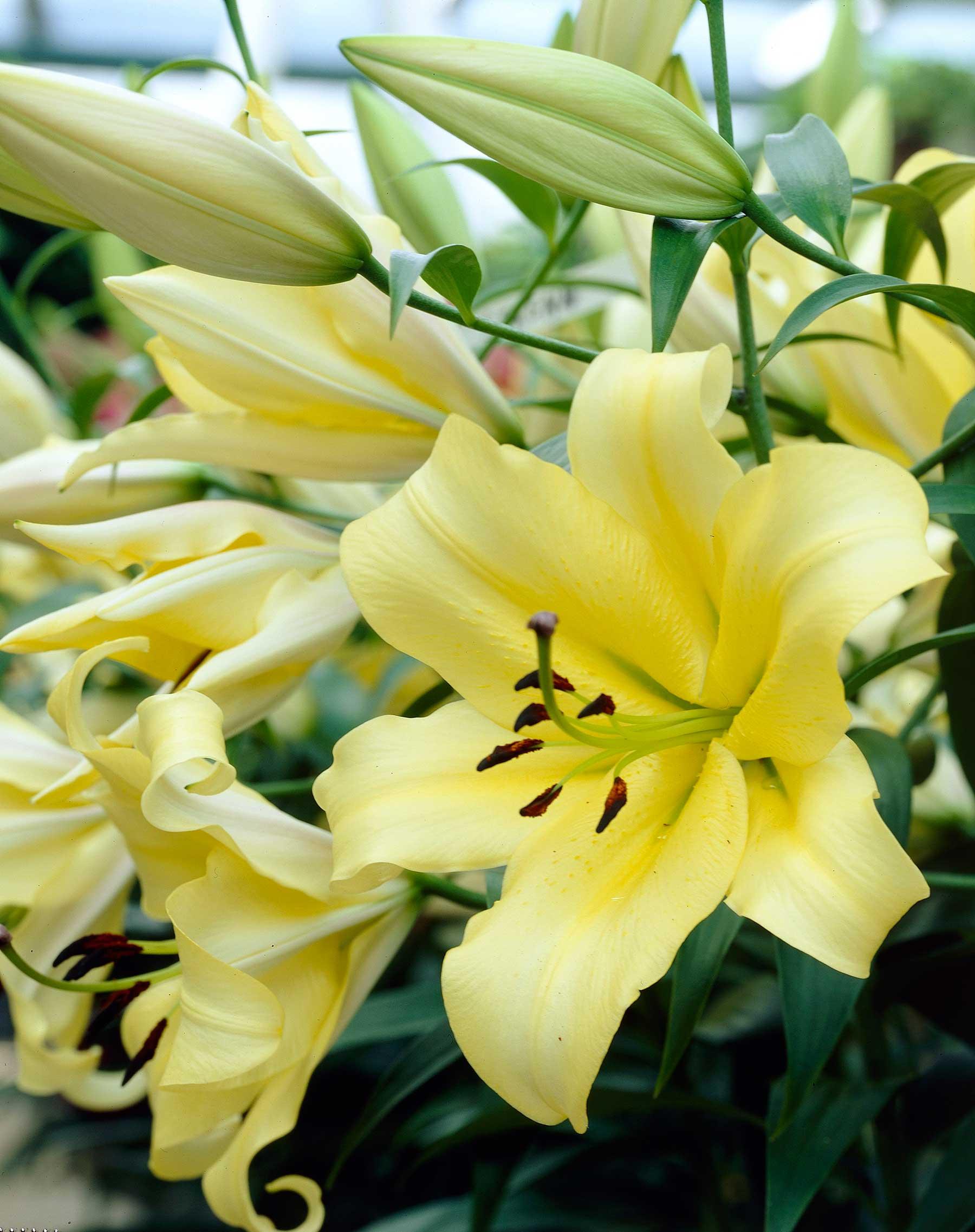 Lily yelloween longfield gardens izmirmasajfo