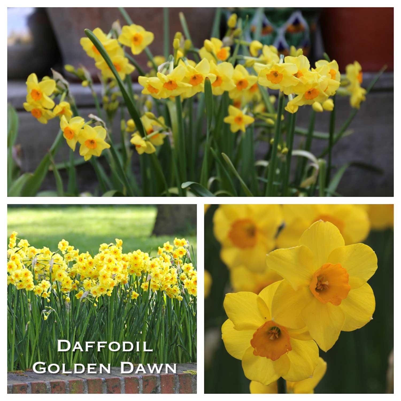 Daffodil-Golden-Dawn-w1.jpg