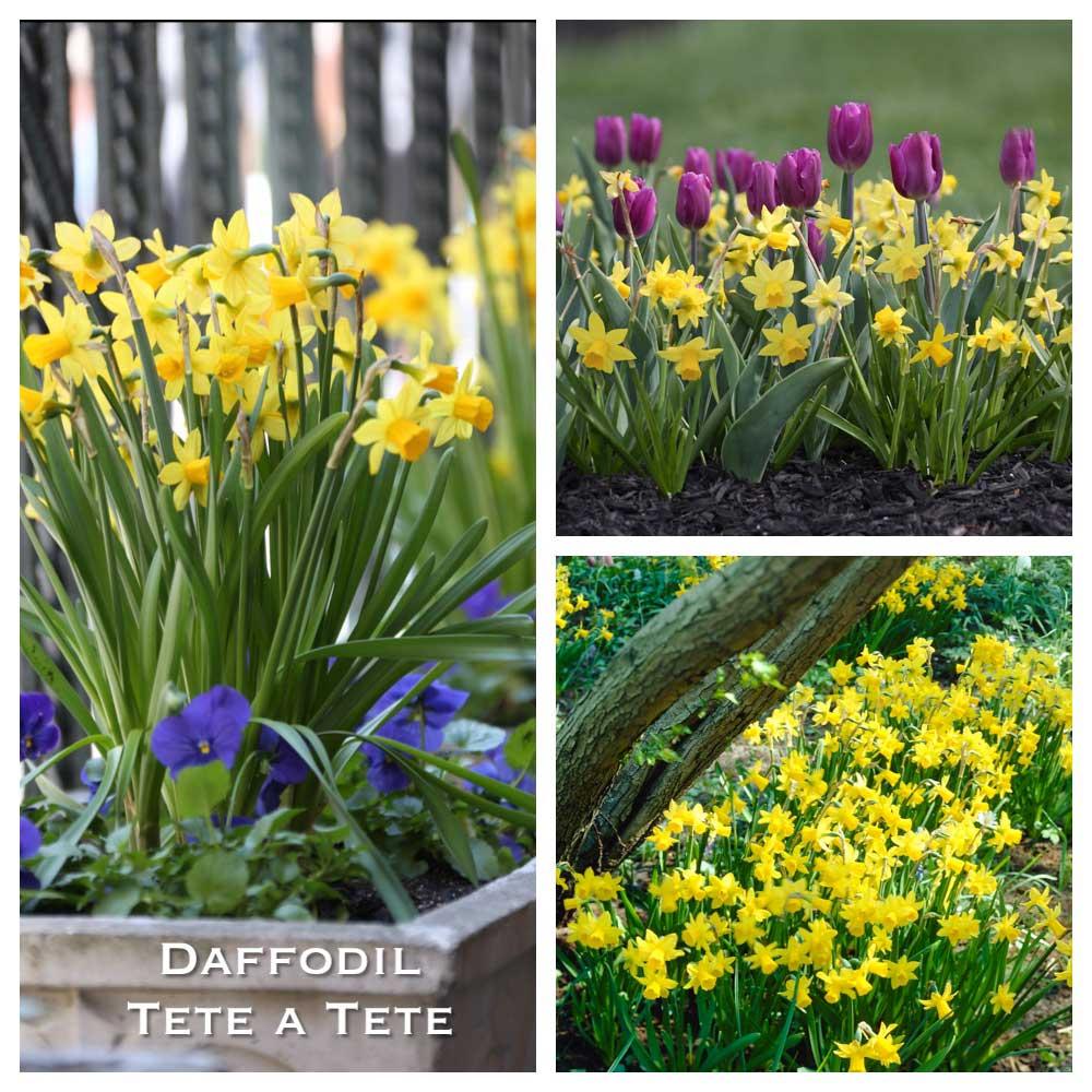 Daffodil-Tete-a-Tete-w.jpg
