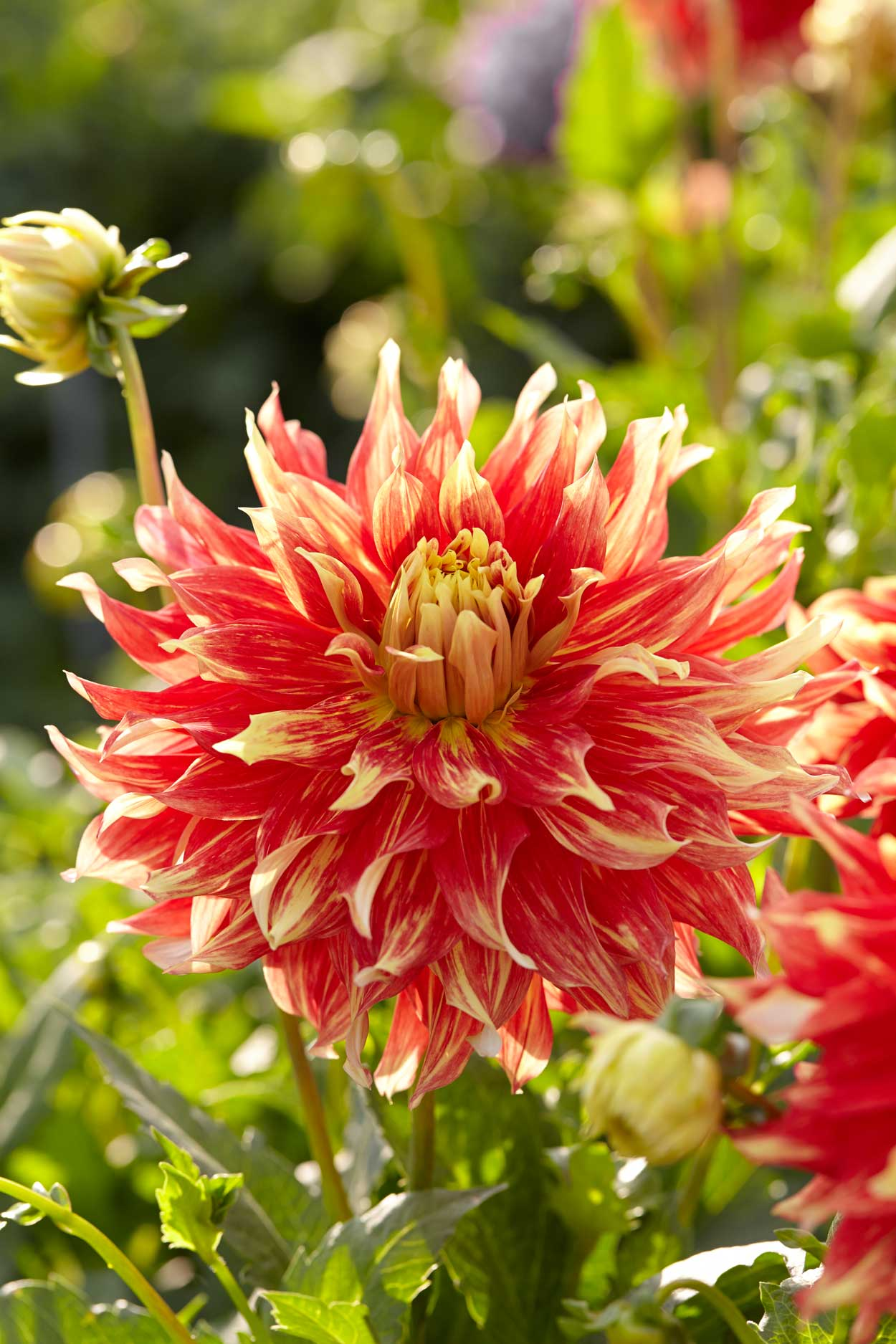 Know Your Dahlias  Flower Styles And Sizes