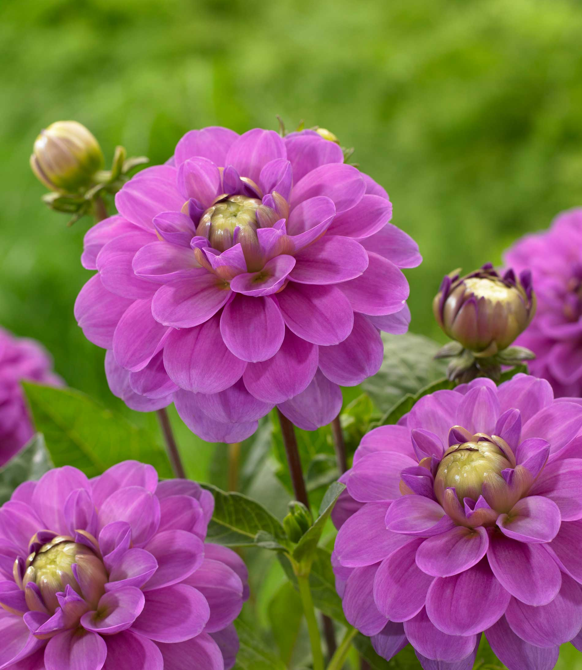 Know your dahlias flower styles and sizes longfield gardens for Flowers that look like dahlias