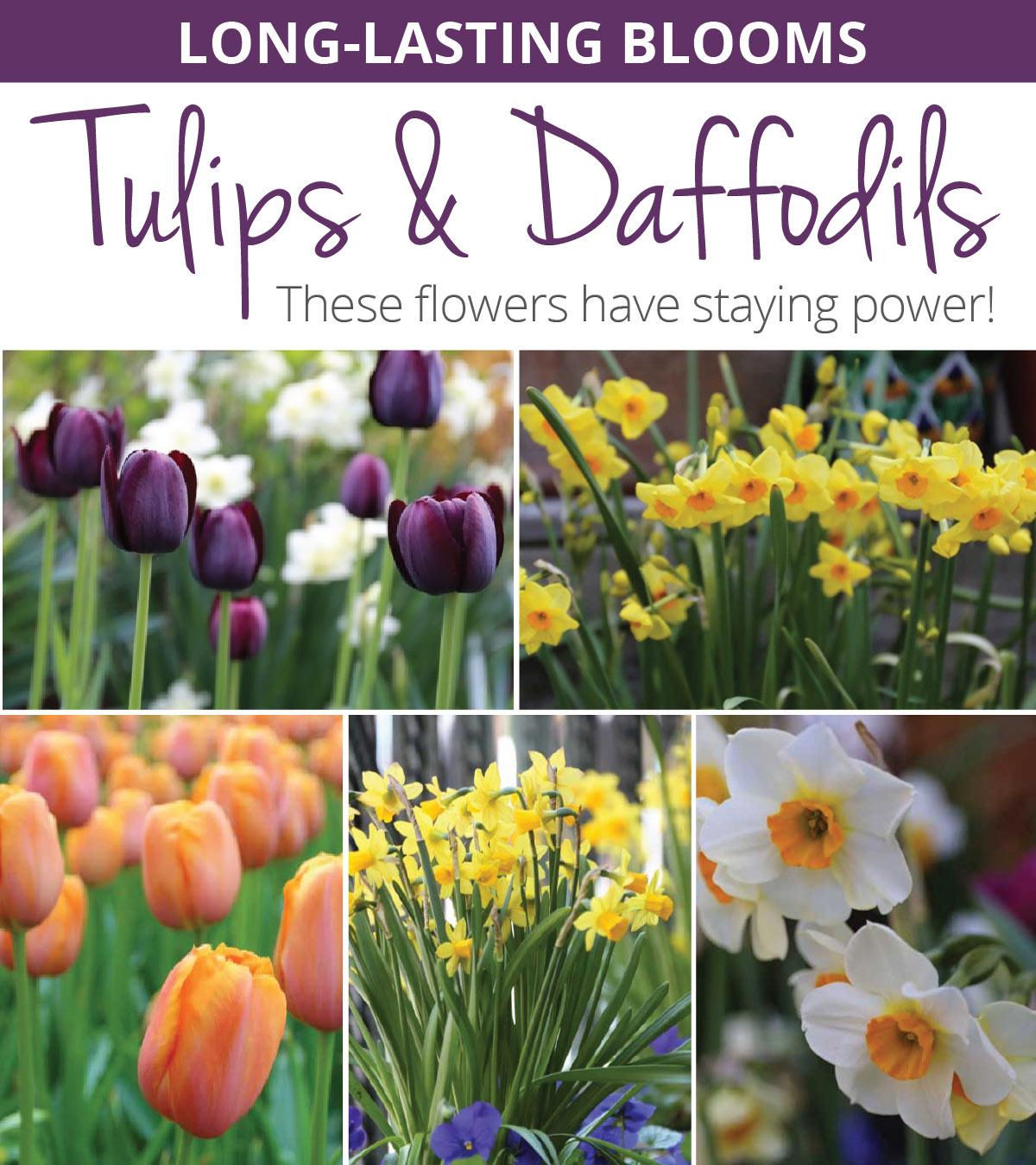 Long-Lasting-Tulips-and-Daffodils.jpg