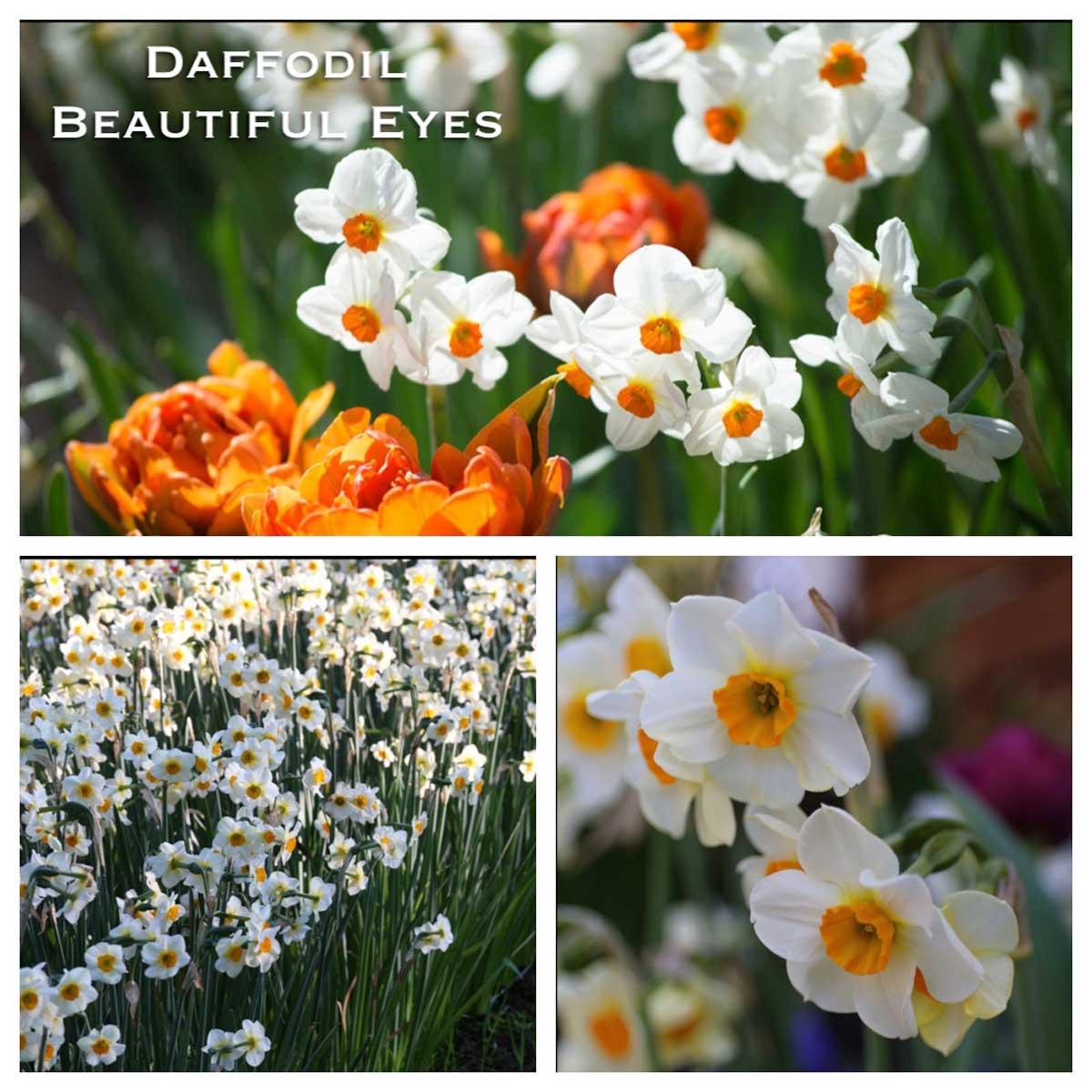daffodil-beautiful-eyes-w.jpg