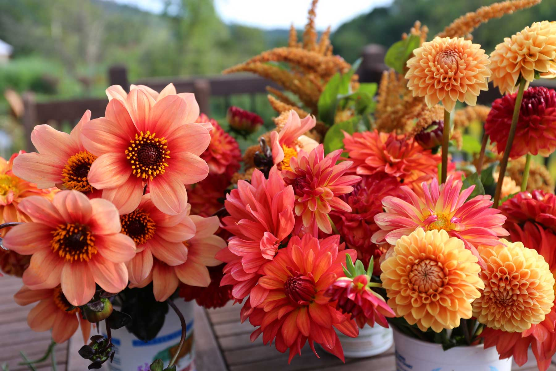 Top Performing Dahlias For Summer 2016 Longfield Gardens