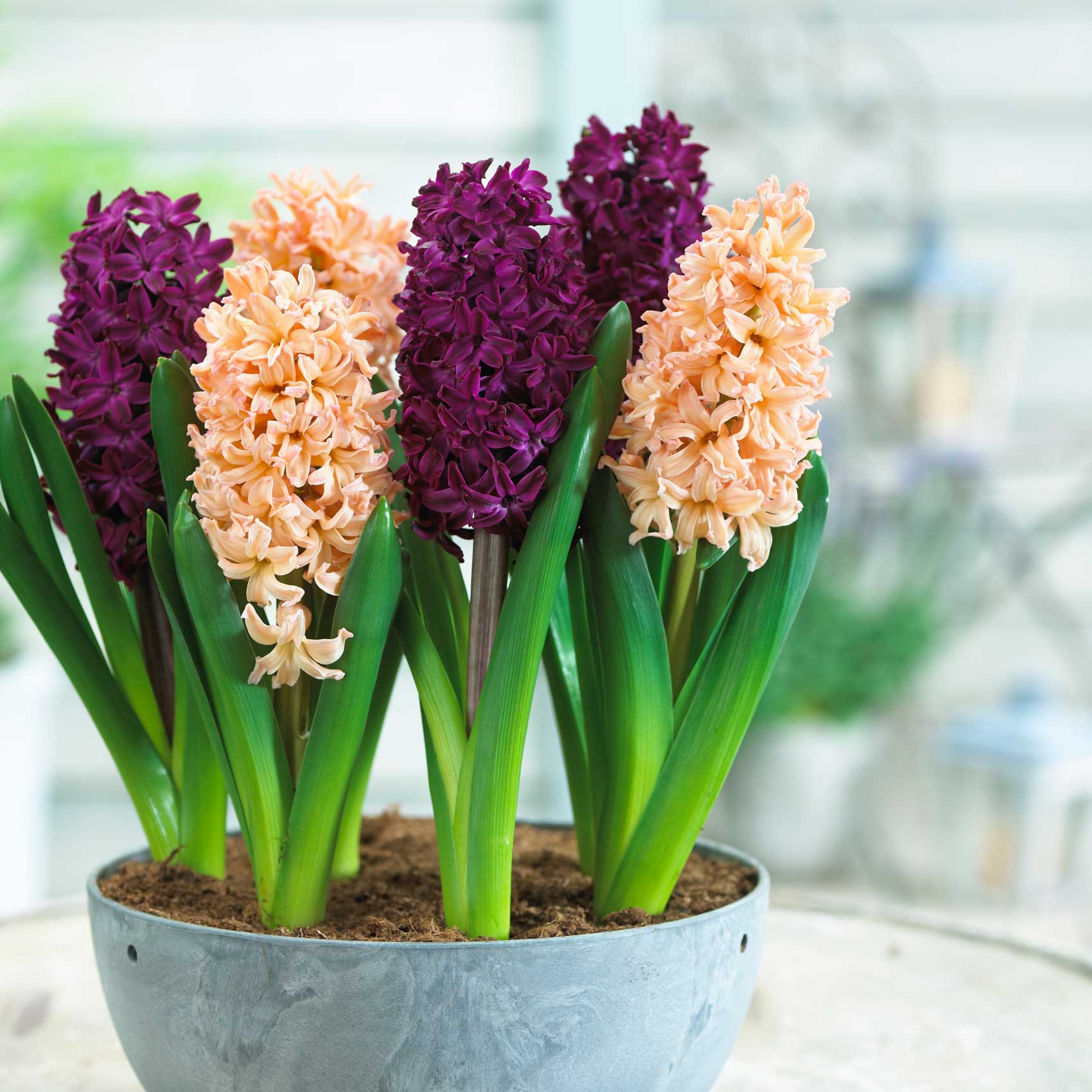 how to force hyacinth bulbs for indoor flowers  longfield gardens, Beautiful flower