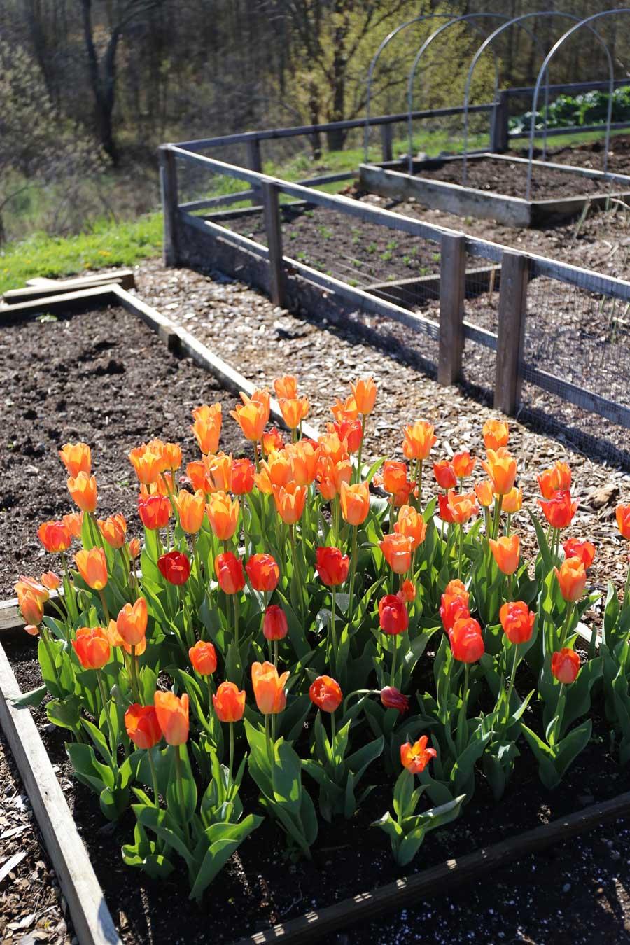 planting tulip bulbs in your vegetable garden longfield