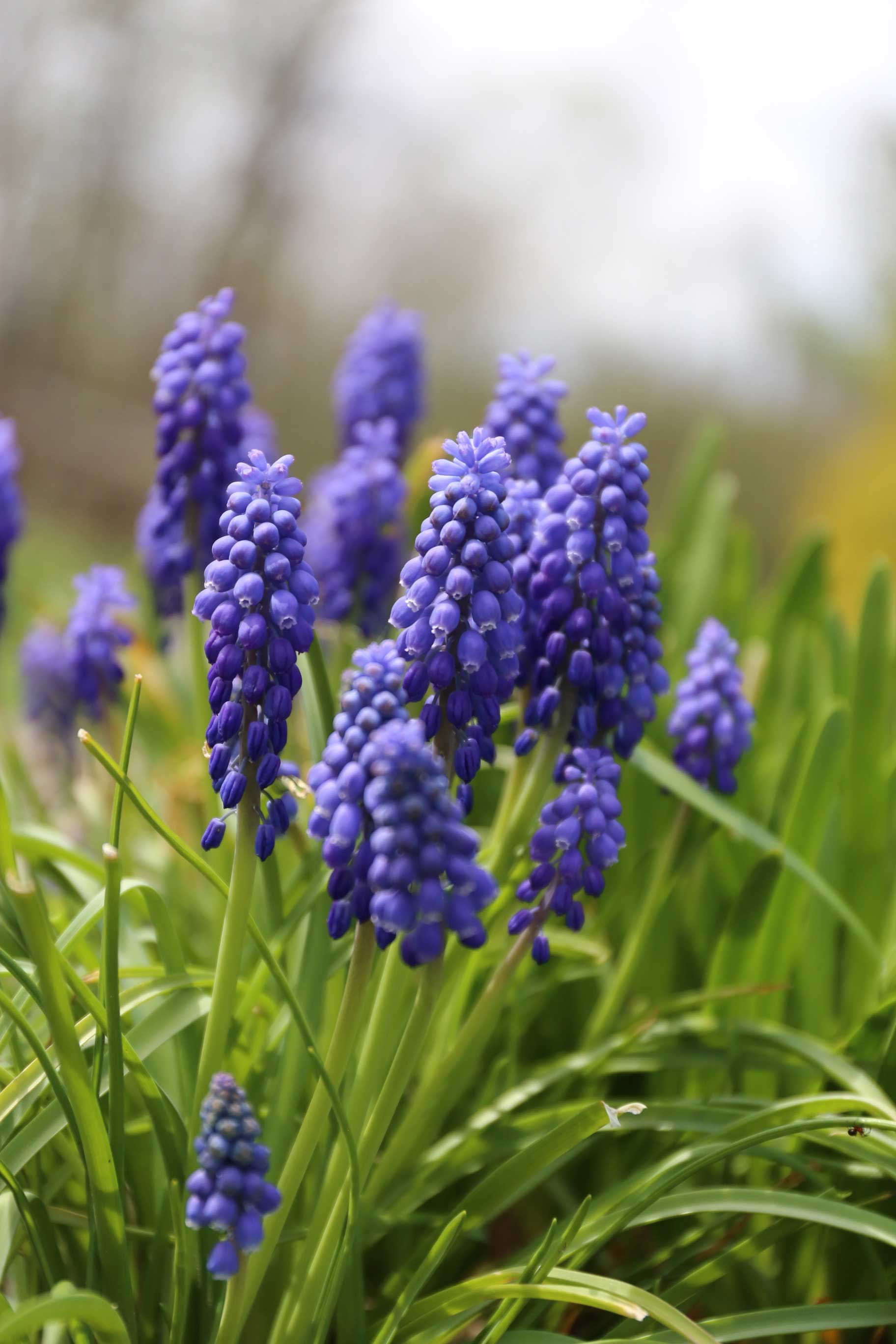 Planting-Muscari-in-Containers-2---Longfield-Gardens.jpg