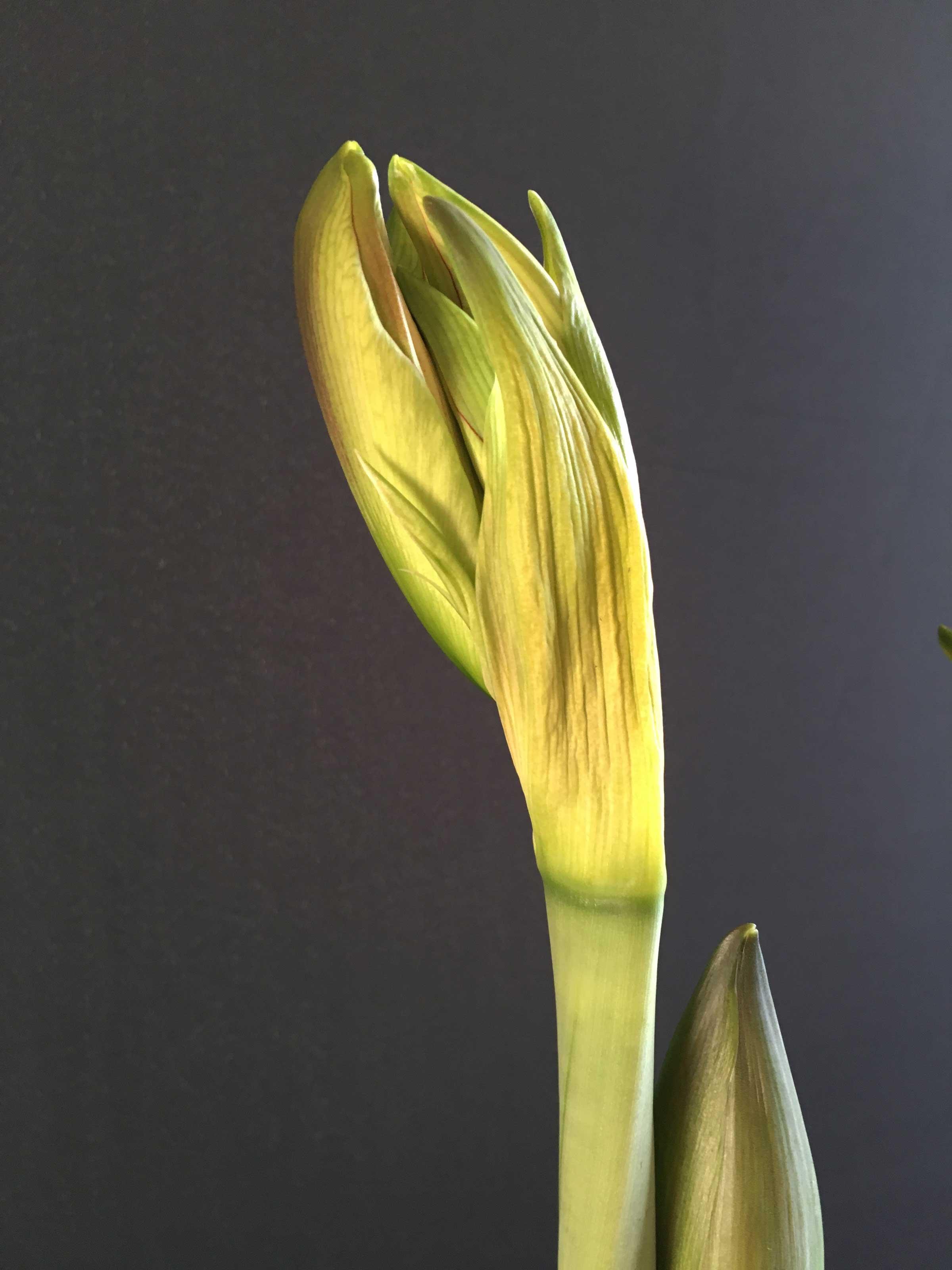 Amaryllis-Beauty-of-the-Bud-Longfield-Gardens2.jpg