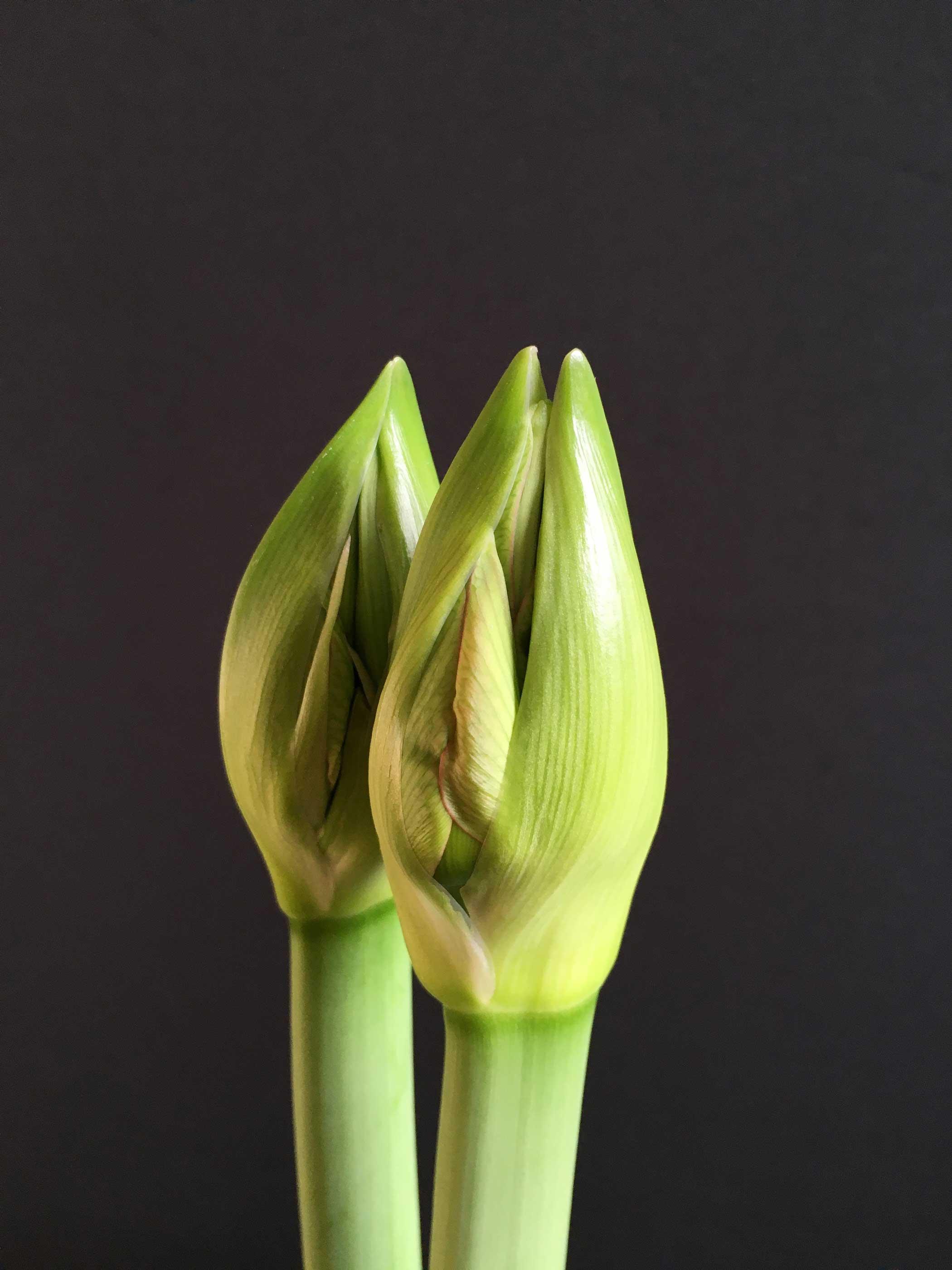 Amaryllis-Beauty-of-the-Bud-Longfield-Gardens3.jpg