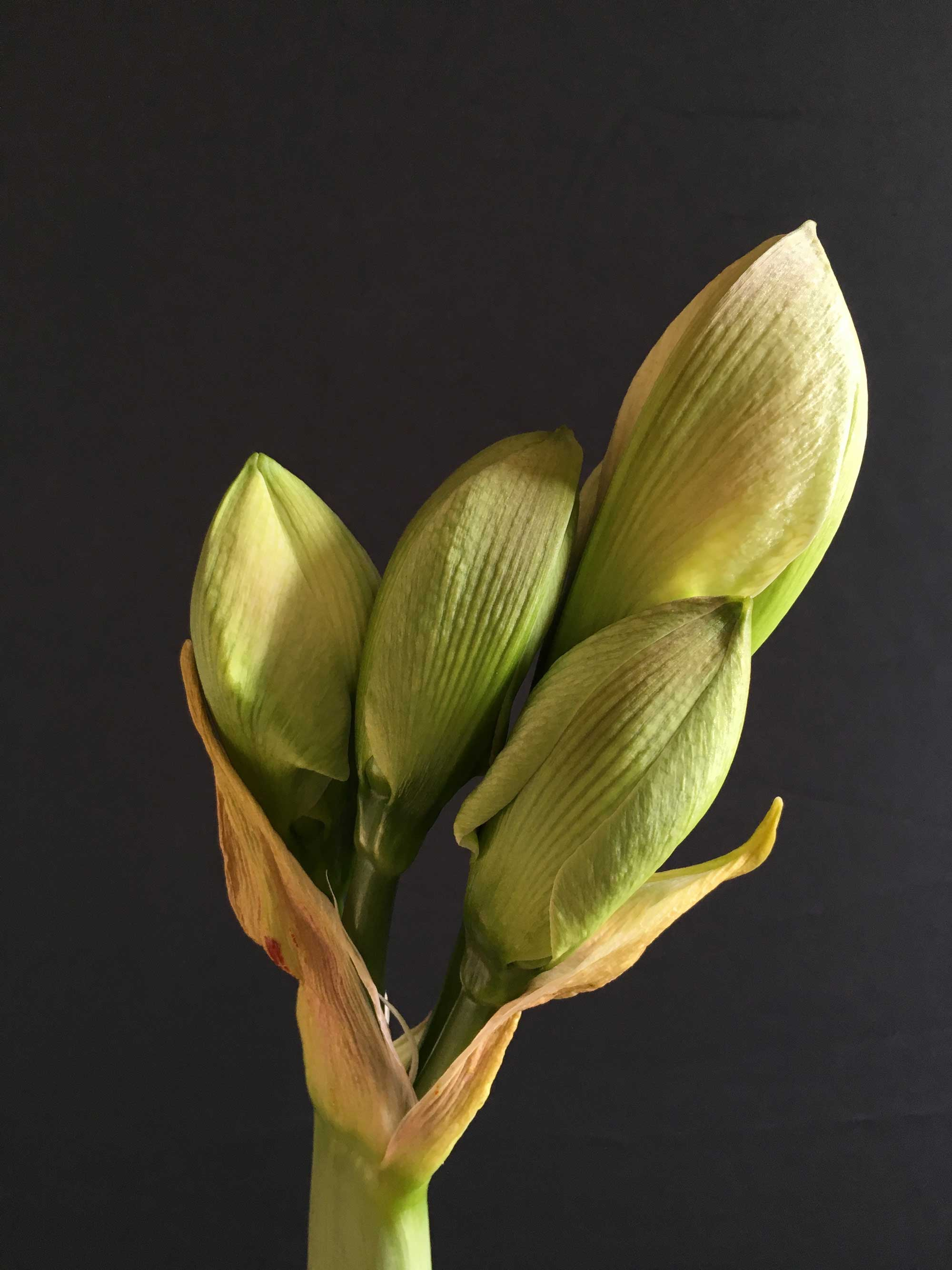 Amaryllis-Beauty-of-the-Bud-Longfield-Gardens4.jpg