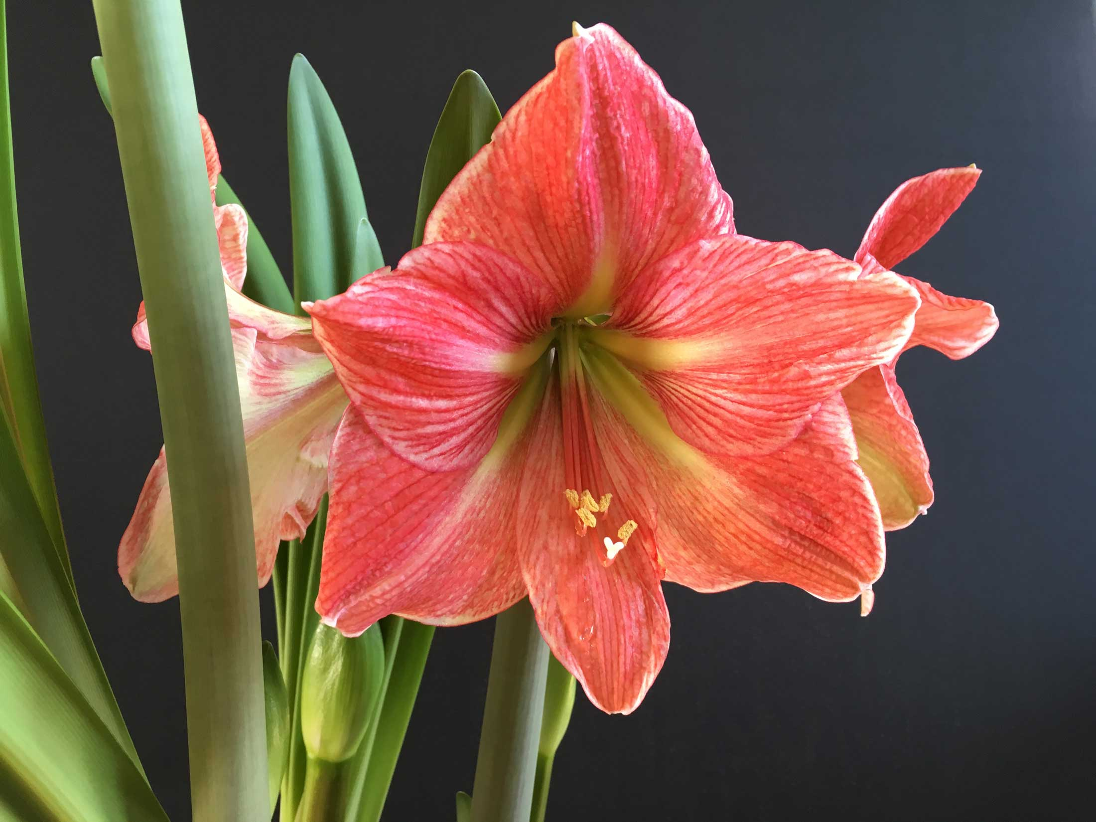 How to Know When Your Amaryllis Will Flower 4 - Longfield Gardens.jpg