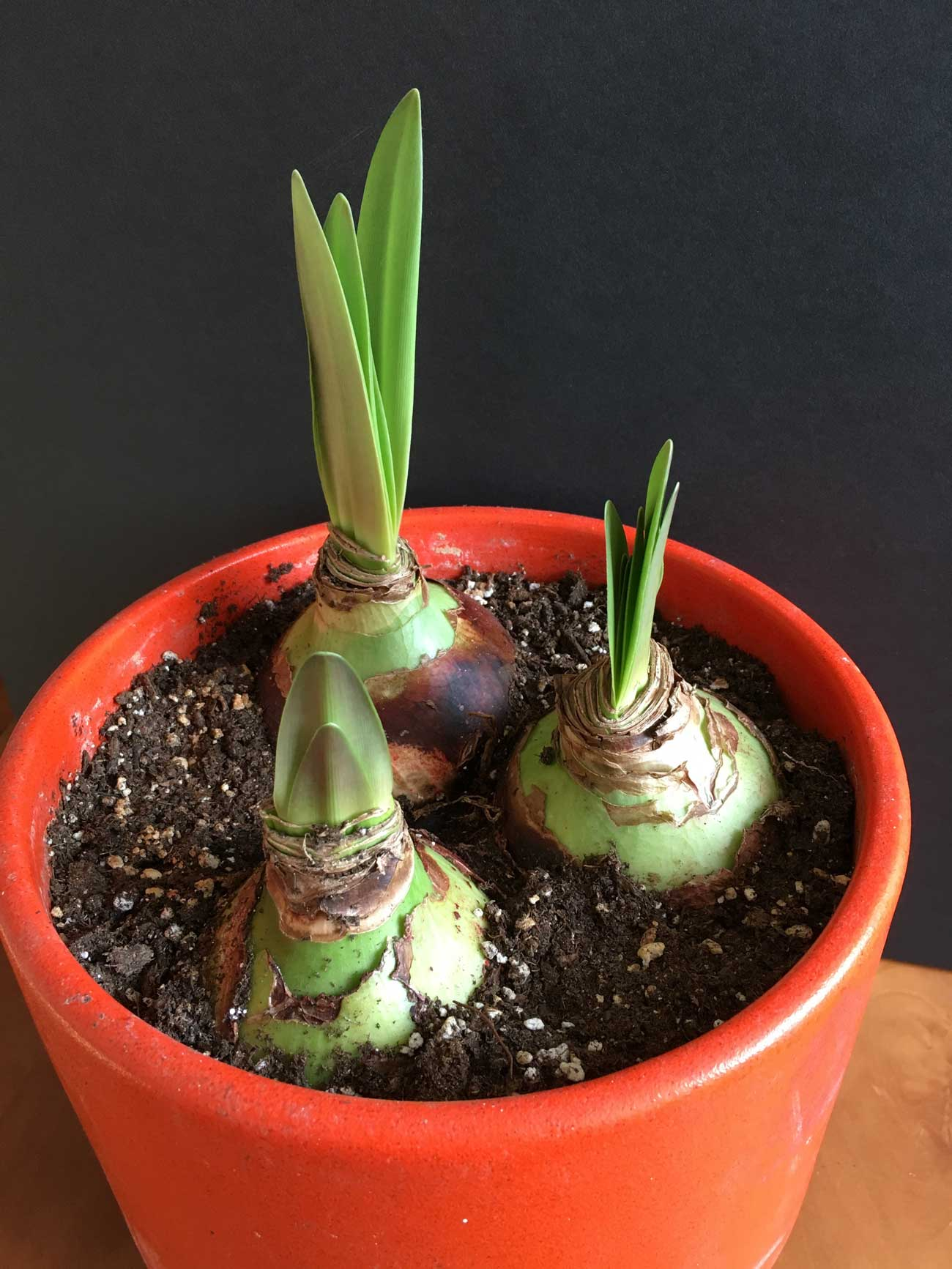 How to Know When Your Amaryllis Will Flower 2 - Longfield Gardens.jpeg
