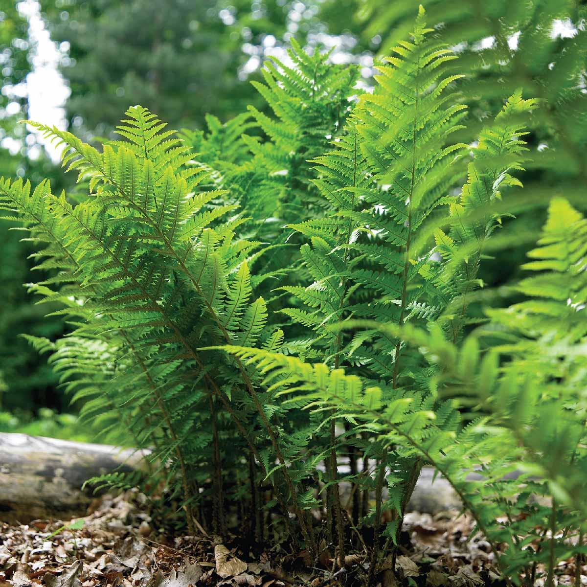 Leatherwood ferns - Longfield Gardens