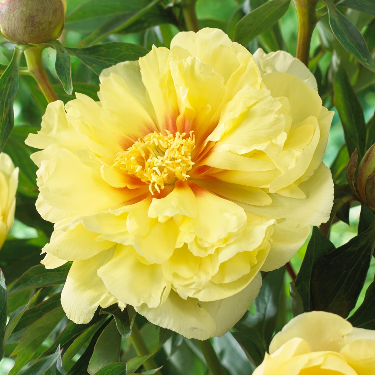 Bartzella Peony 3- Longfield Gardens