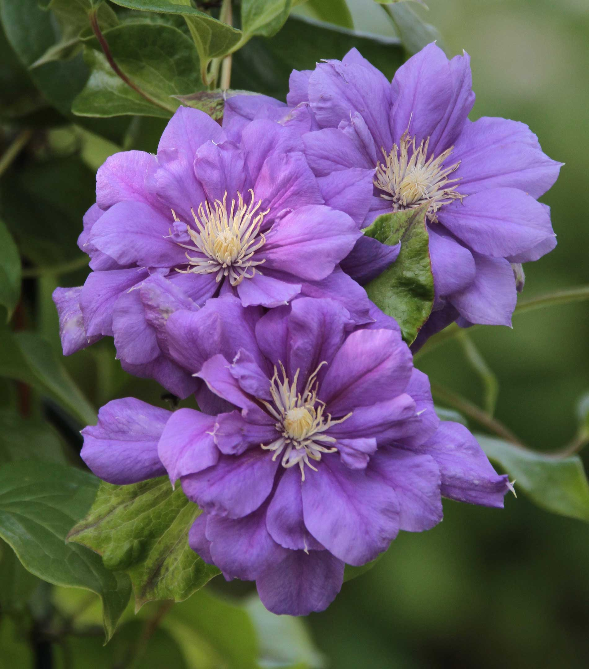 Clematis-Double-Purple - Longfield Gardens